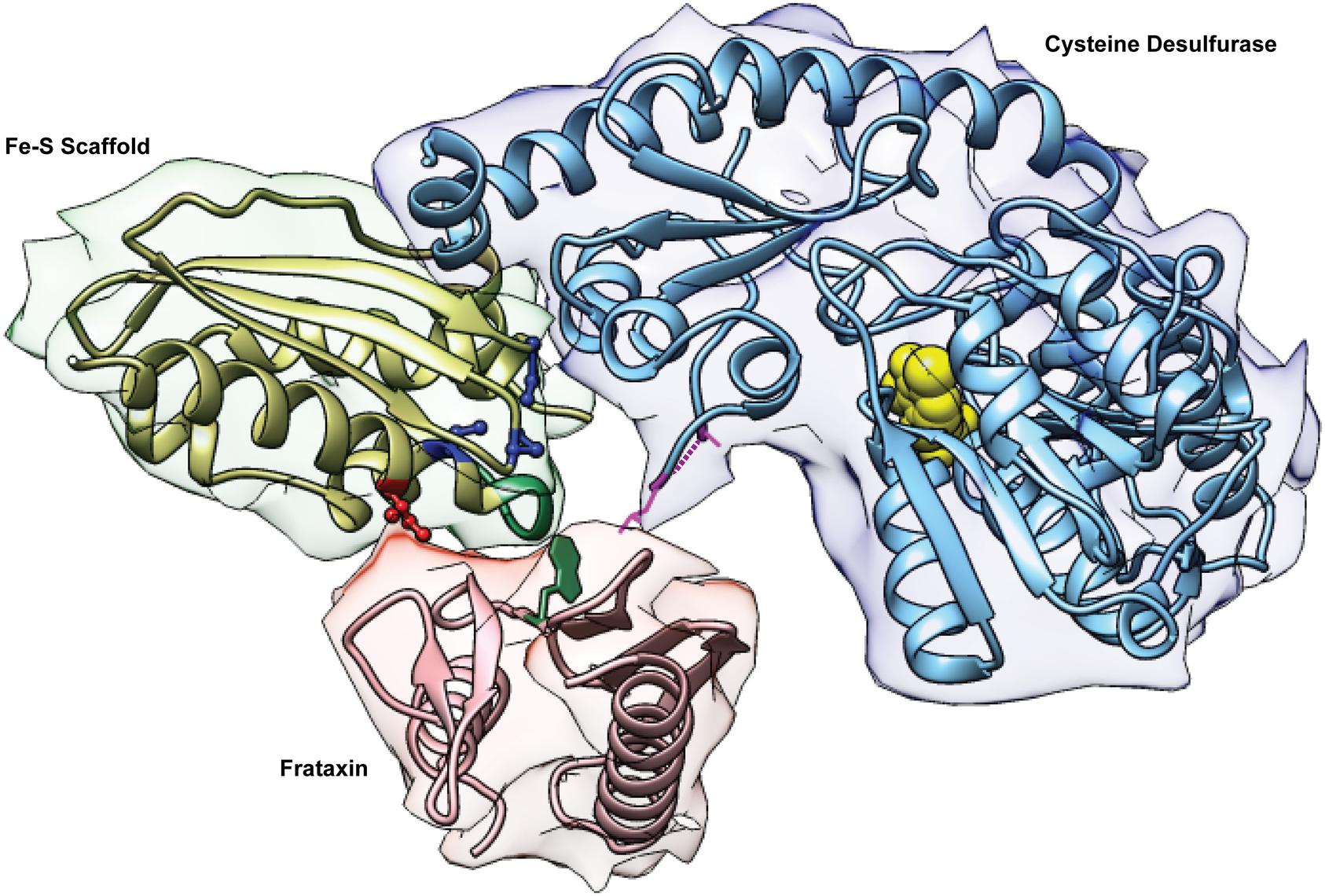 The Fe-S cluster assembly complex of <i>E</i>. <i>coli</i>.
