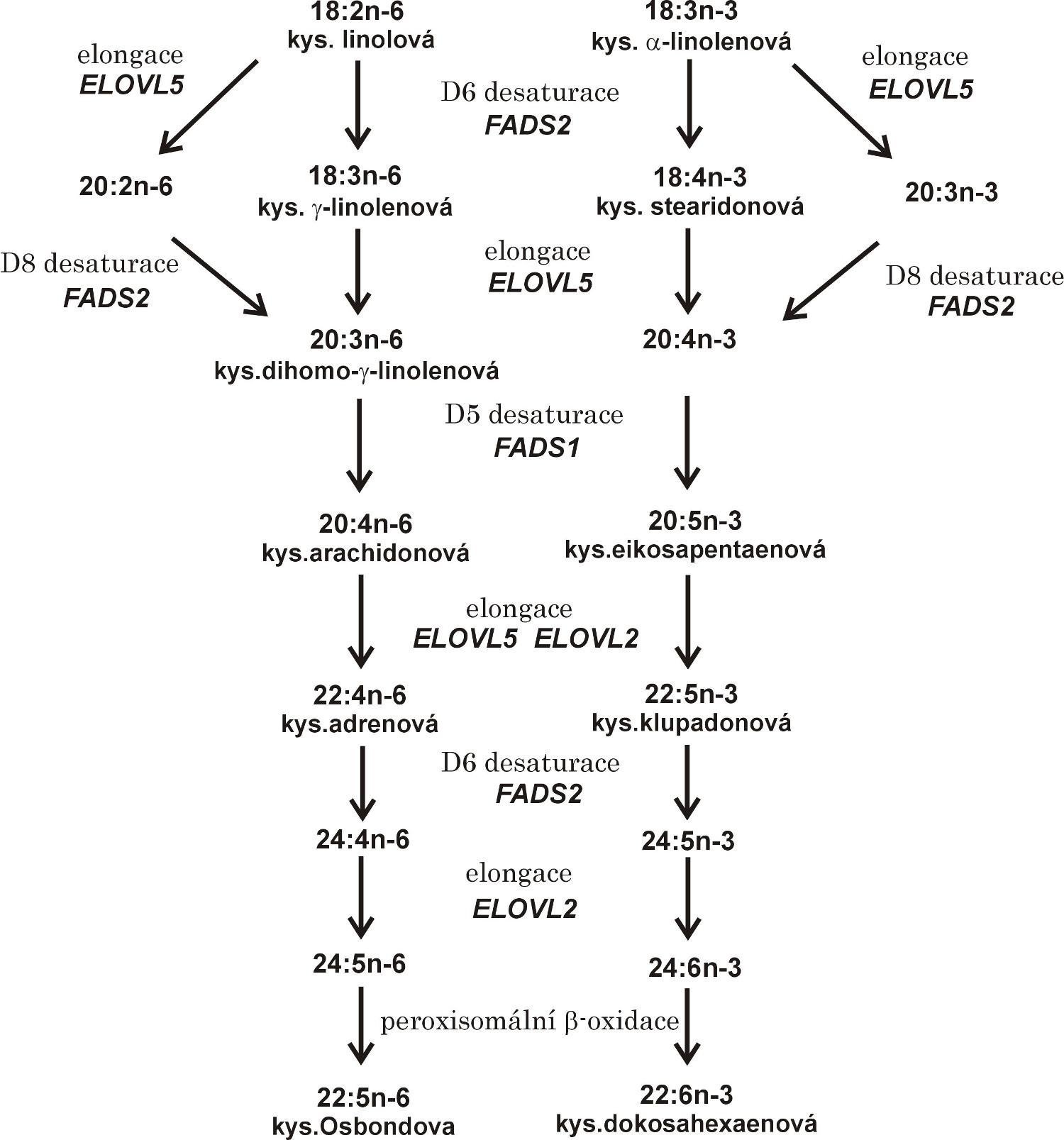 Elongace a desaturace vícenenasycených mastných kyselin řady n-3 a n-6