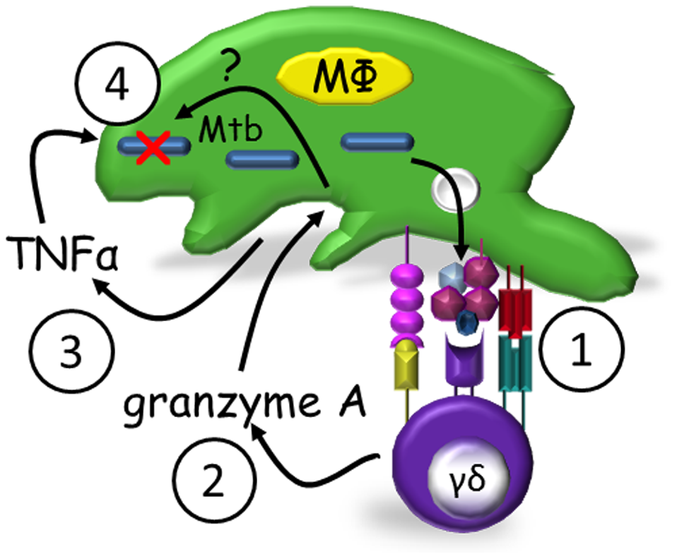 Proposed model of granzyme A-mediated suppression of intracellular mycobacterial growth by γ<sub>9</sub>δ<sub>2</sub> T cells.