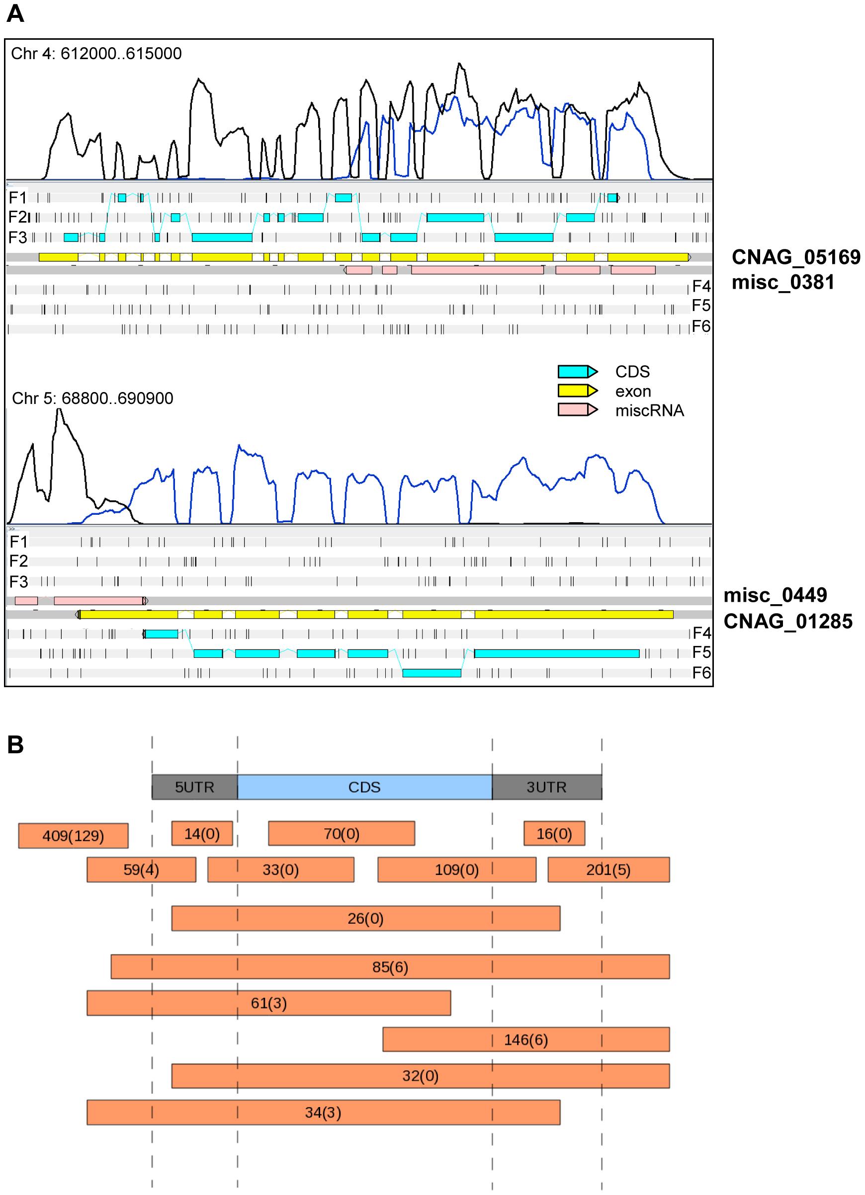 miscRNAs in <i>C. neoformans</i> var. <i>grubii</i>.
