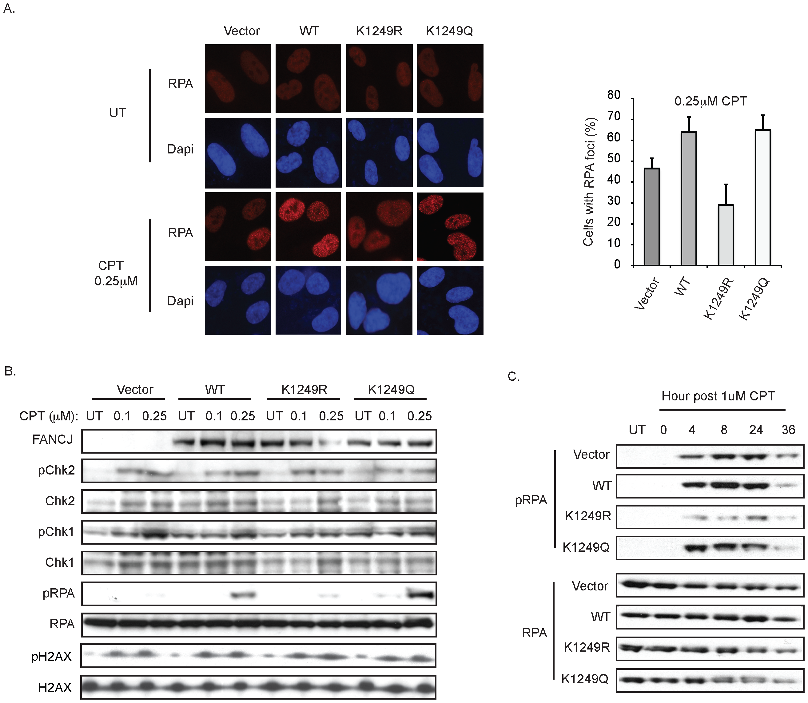 FANCJ and its acetylation at 1249 promote an RPA response.
