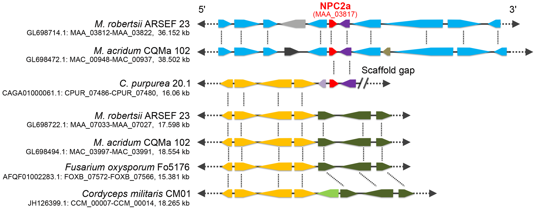 Genomic context of the gene <i>npc2a</i> in <i>M. robertsii</i>, <i>M. acridum</i>, <i>C. purpurea</i>, and 16 other fungi (represented by <i>Fusarium oxysporum</i> and <i>Cordyceps militaris</i>).