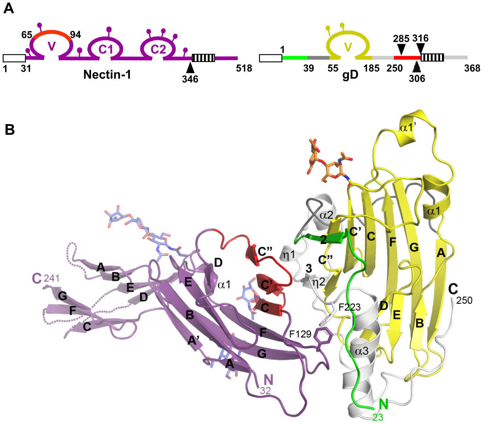 Structure of the gD/Nectin-1 complex.