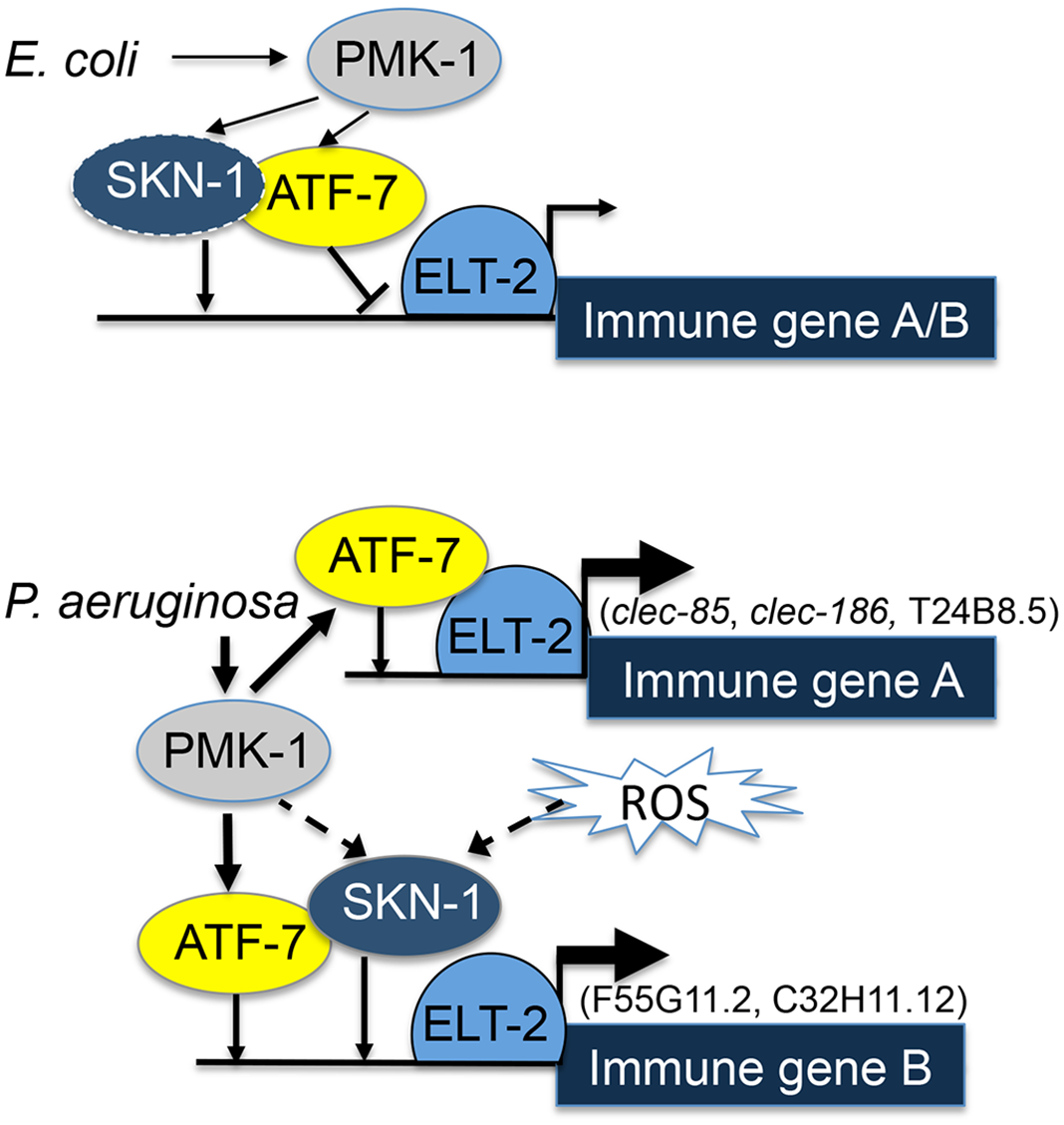 ELT-2-PMK-1-ATF-7-SKN-1 interactions in gene regulation.