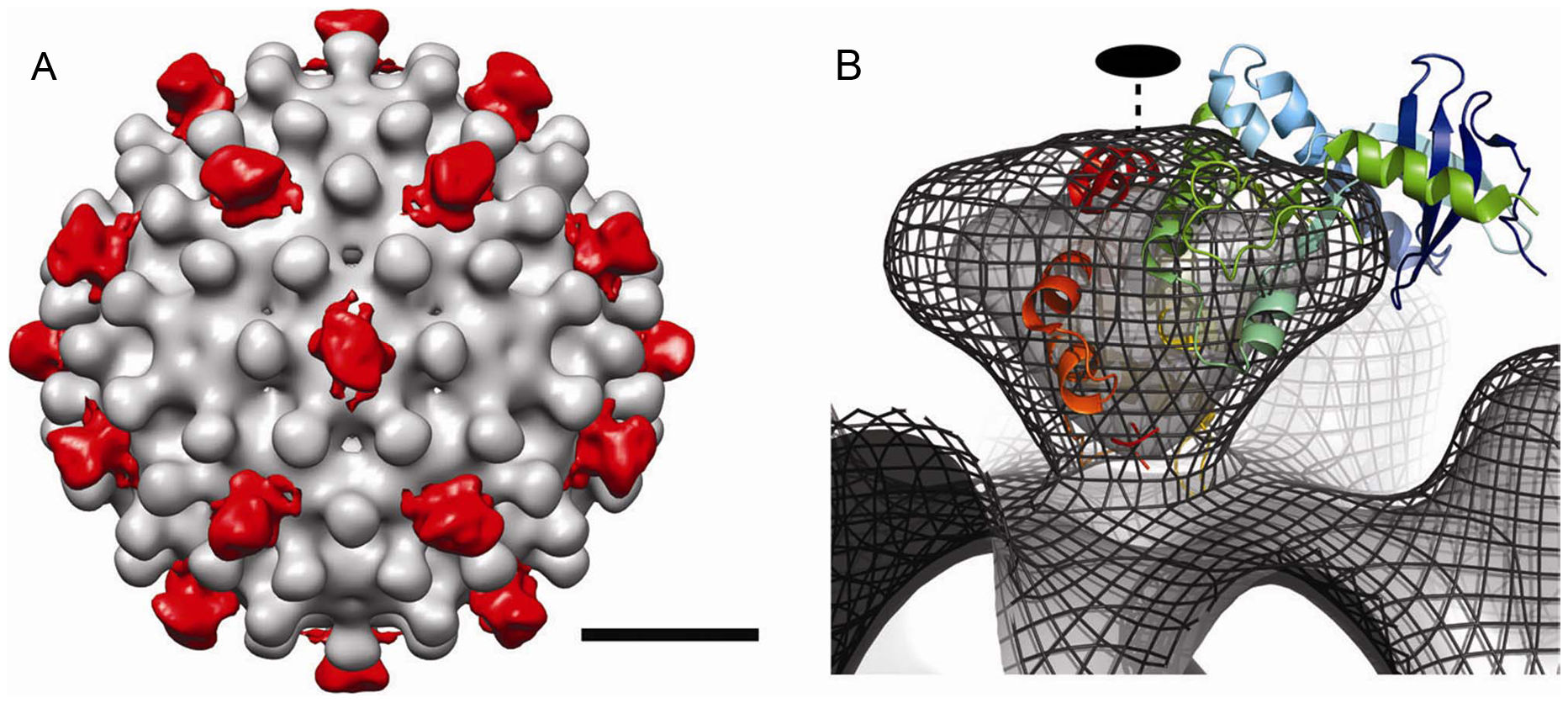 The difference map and modeling of SRPKΔ on Cp183 Capsid.