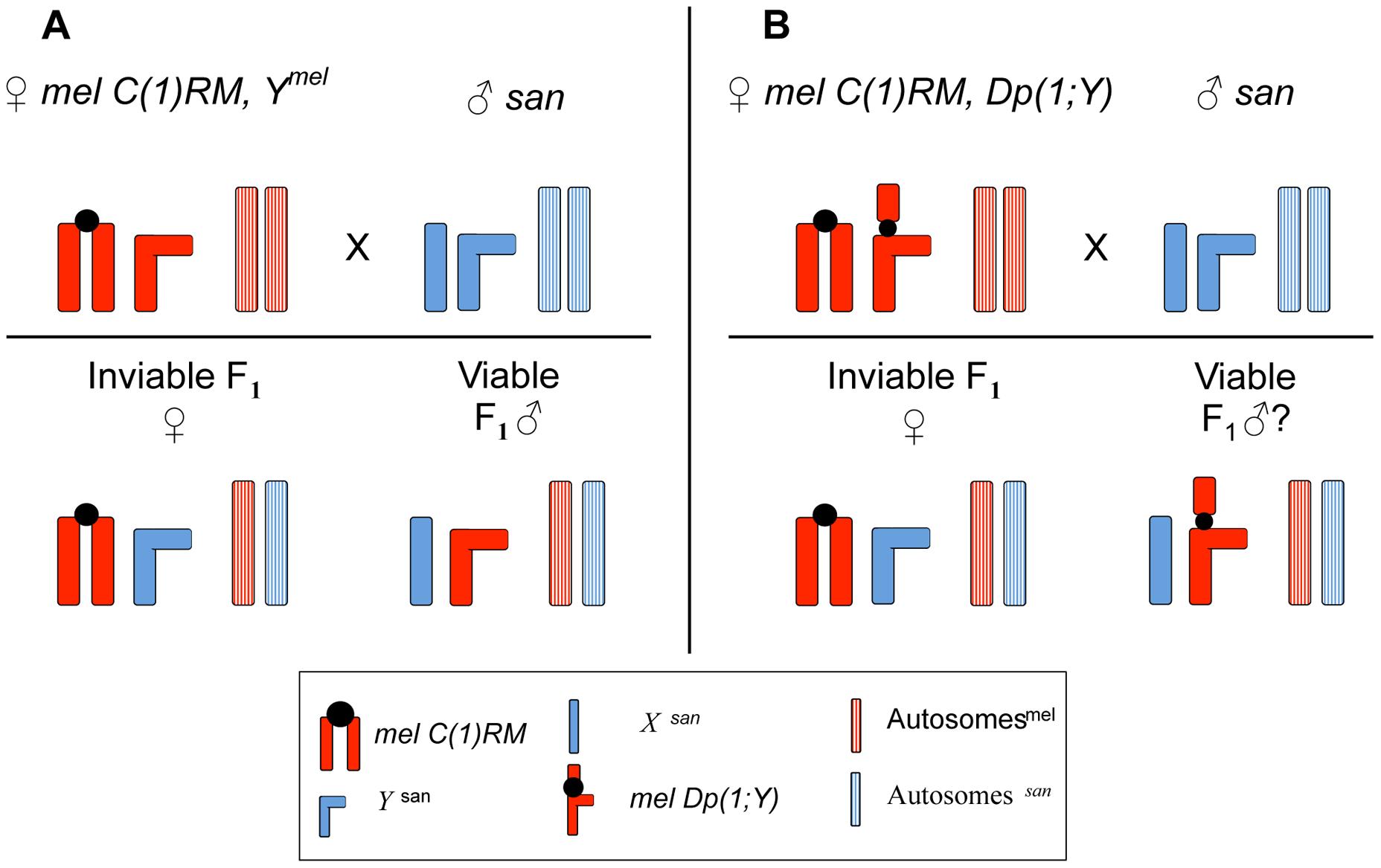 Crossing scheme to study the effect of <i>X</i>-linked chromosomal duplications in <i>mel/san</i> hybrid males.