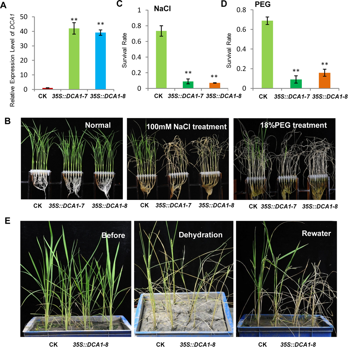 Overexpression of <i>DCA1</i> reduces stress tolerance in rice.