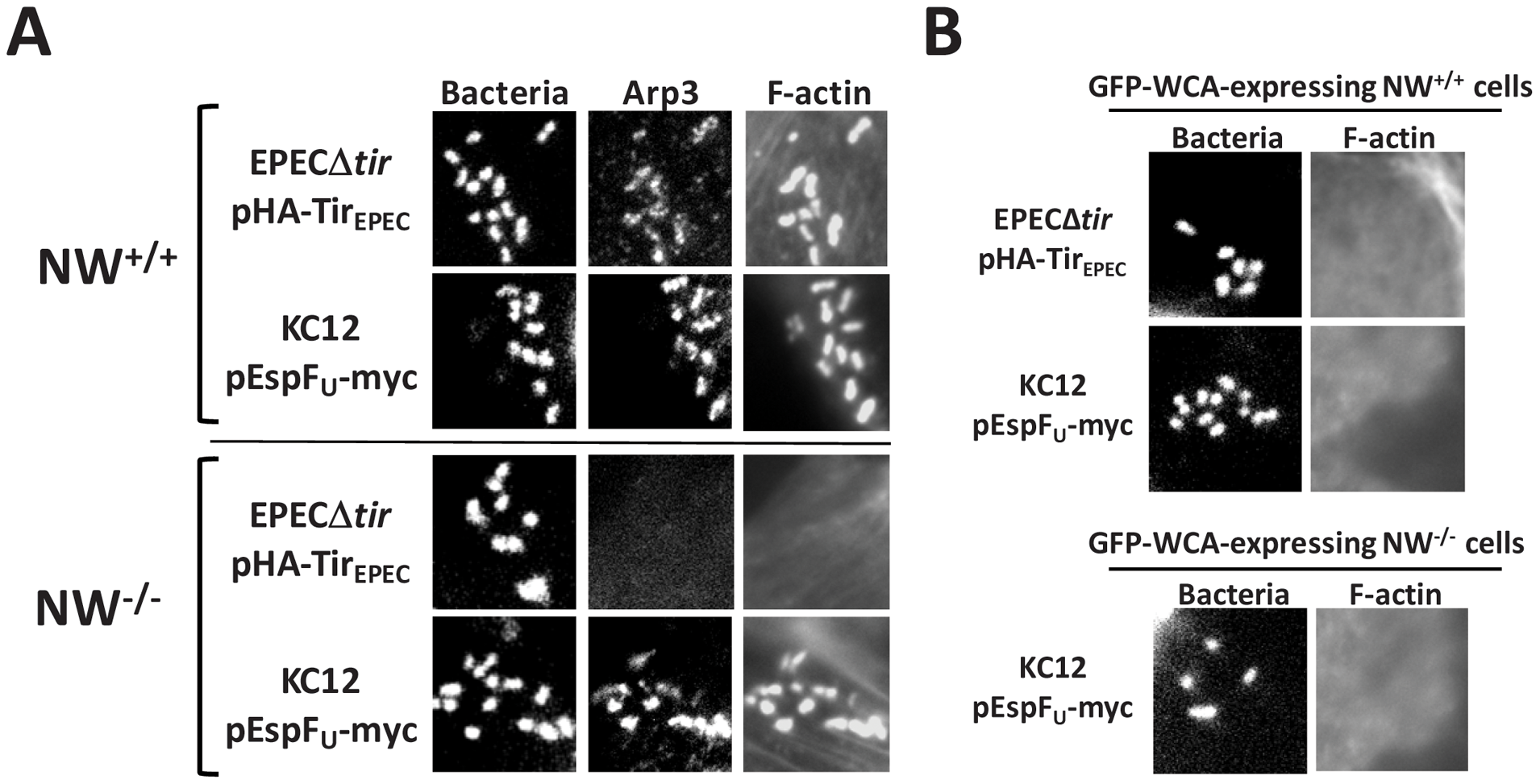 The Arp2/3 complex is critical for actin pedestal formation on N-WASP-deficient cells.