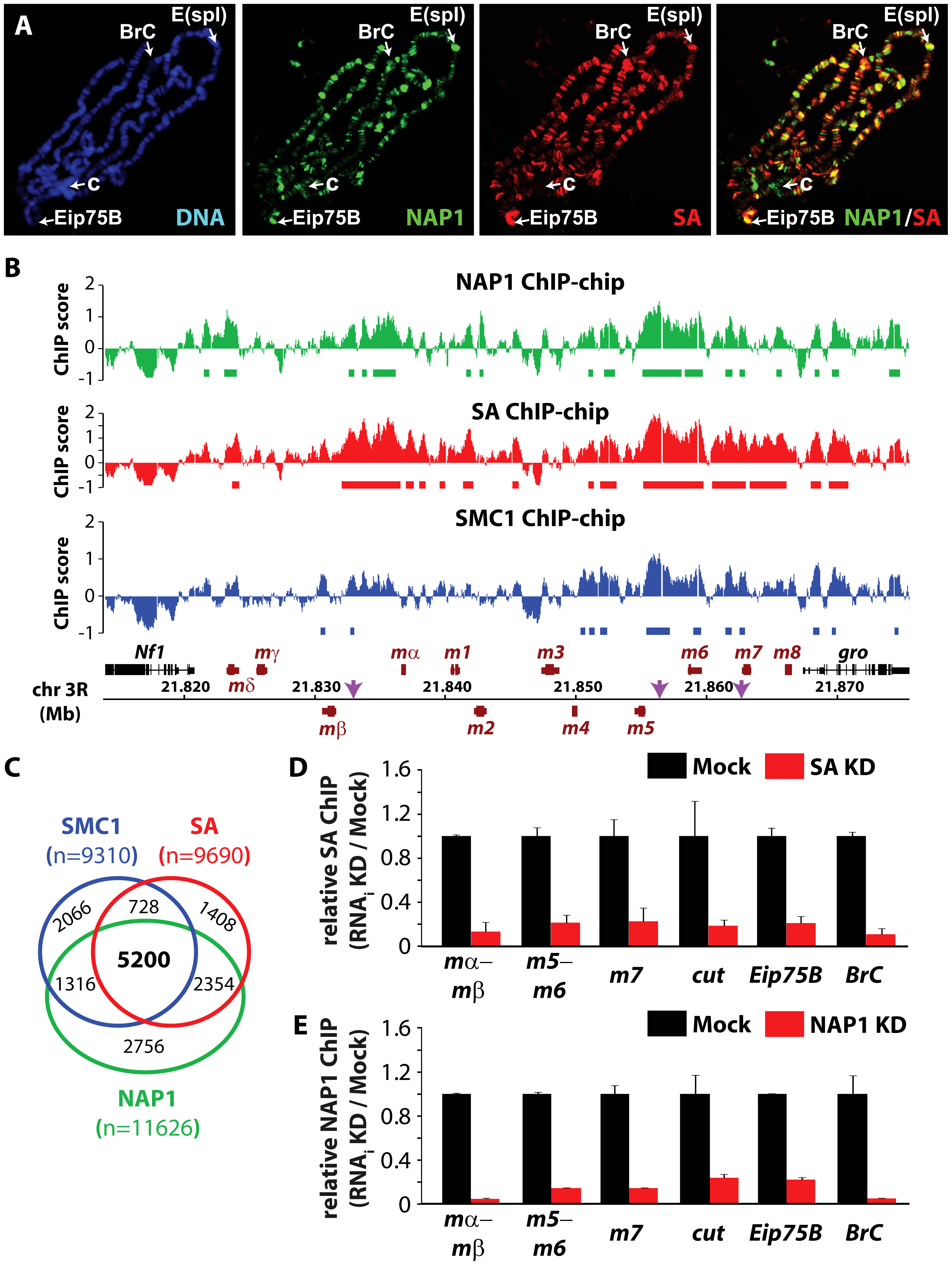 NAP1 and cohesin co-localize on chromatin.