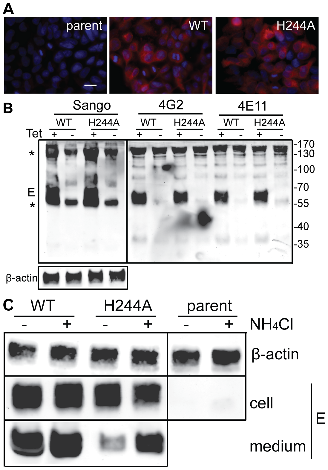 DENV E H244A mutation inhibits release of virus-like particles via a low pH-dependent mechanism.