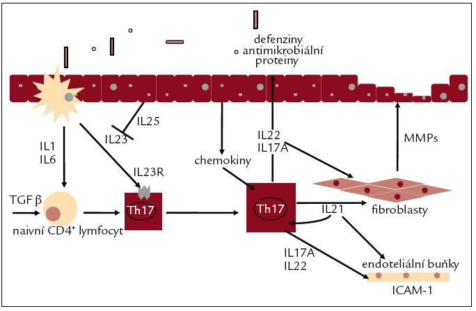 Diferenciace a funkce Th17-lymfocytů (upraveno podle [60]). Th17-lymfocyty diferencují pod vlivem TGFβ v kombinaci s IL1β, IL6 a na rozdíl od Th1-lymfocytů nevyžadují pro diferenciaci své efektorové cytokiny, pro jejich diferenciaci není nutná přítomnost IL17. IL21 reguluje diferenciaci Th17 buněk autokrinním způsobem. IL23 slouží k amplifikaci zánětlivé odpovědi odvozené od Th17-lymfocytů. Th17-lymfocyty produkují prozánětlivé cytokiny, ale i látky ovlivňující funkci střevní bariéry.