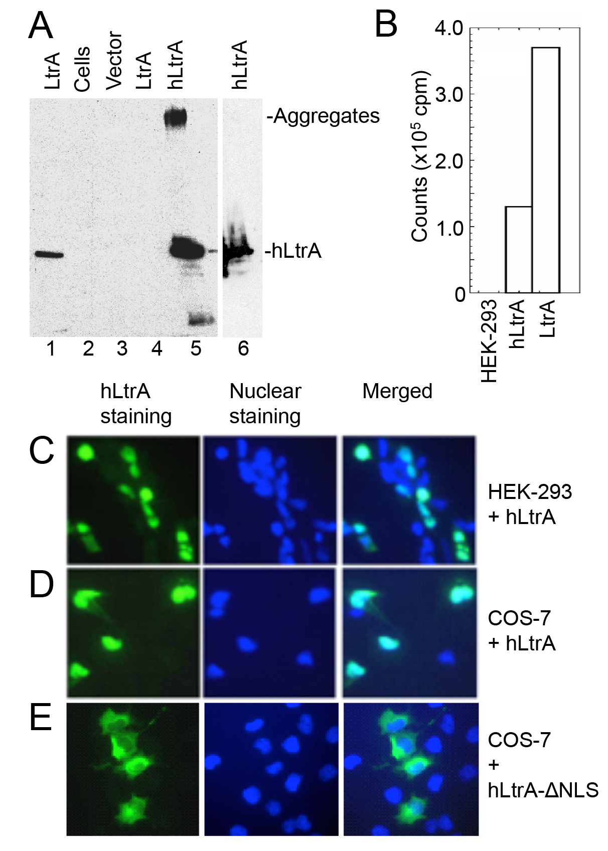 Human codon-optimized LtrA protein (hLtrA) with an SV40-NLS expressed in human cells has reverse transcriptase activity and localizes to the nucleus.