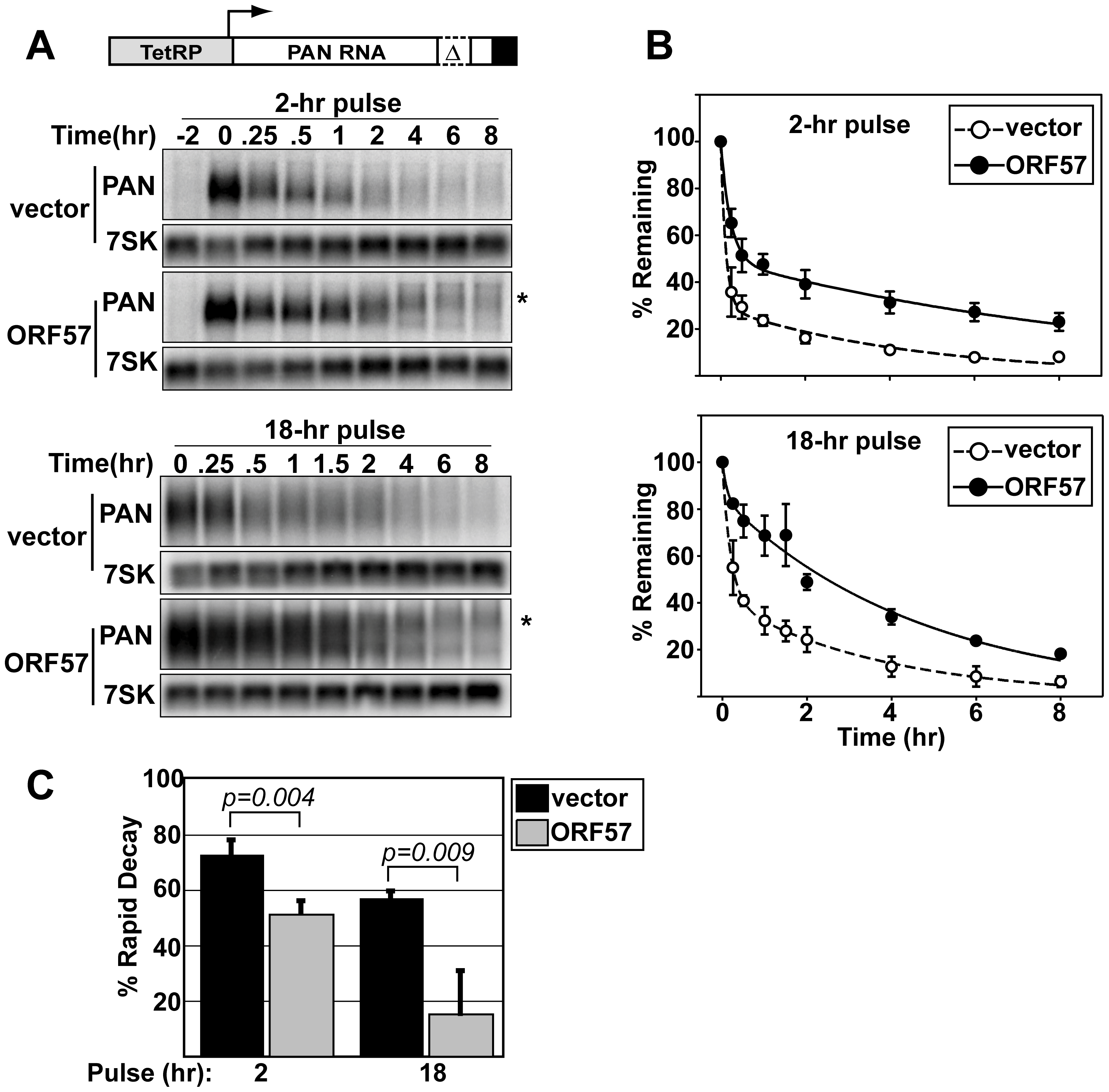 ORF57 protects transcripts from rapid RNA decay.