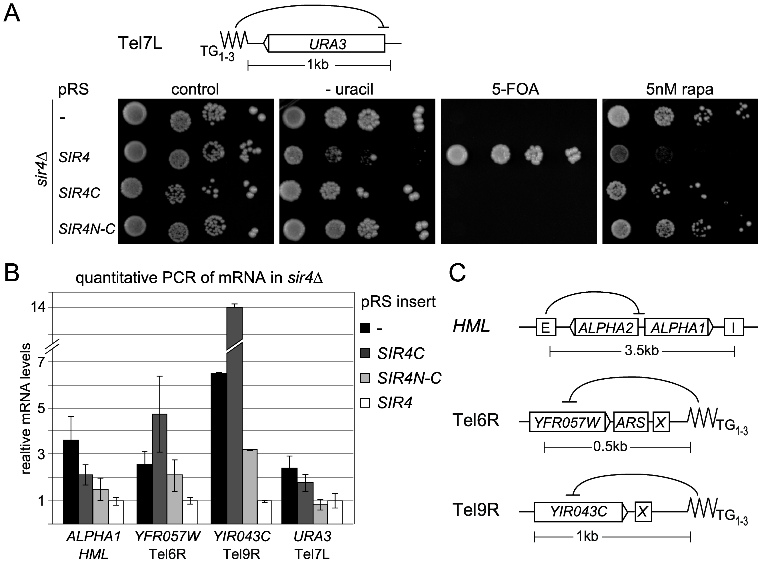 Sir4C is not sufficient for silencing at telomeres.