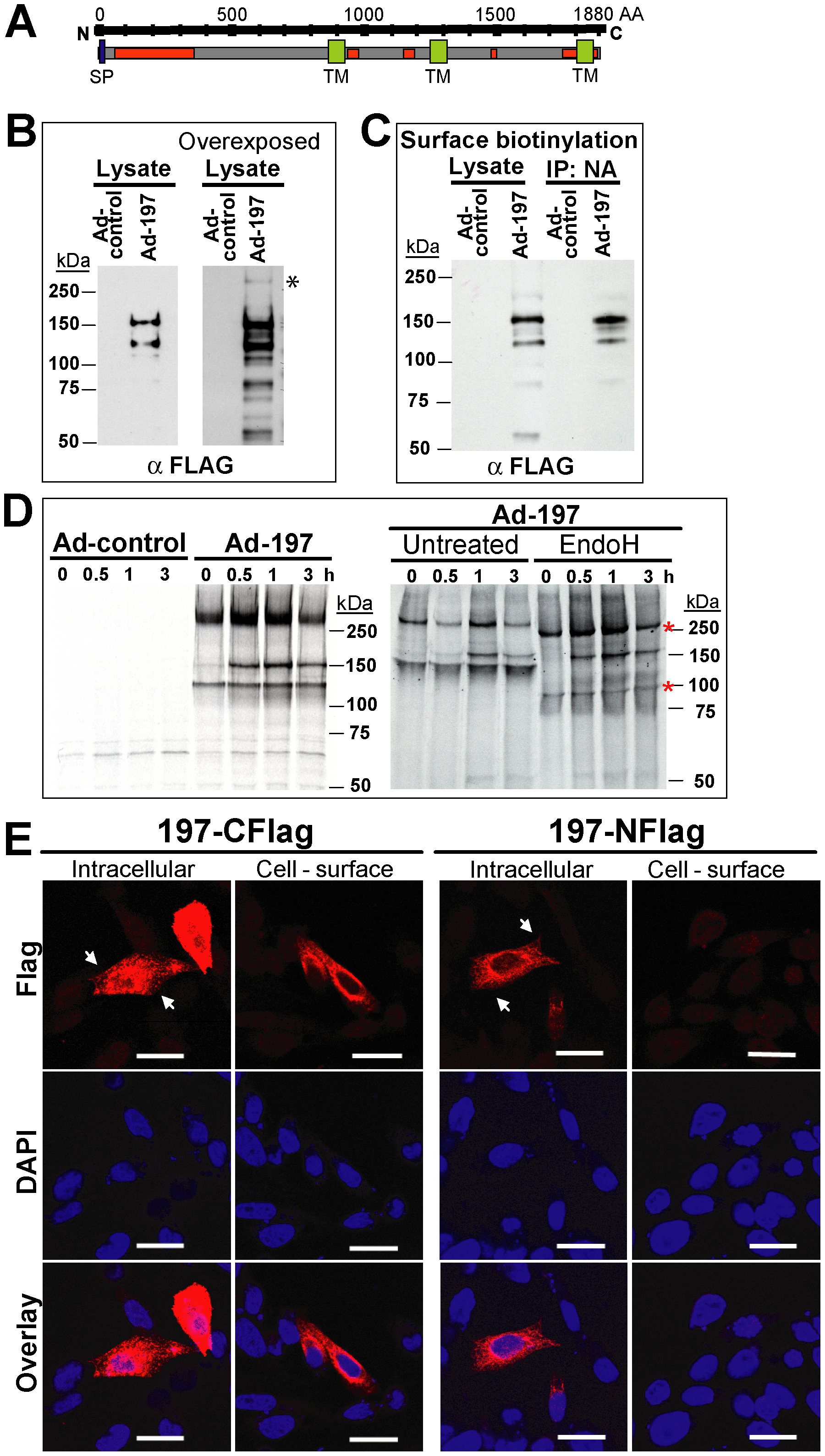 Molecular characterization and sub-cellular localization of MPXV197.