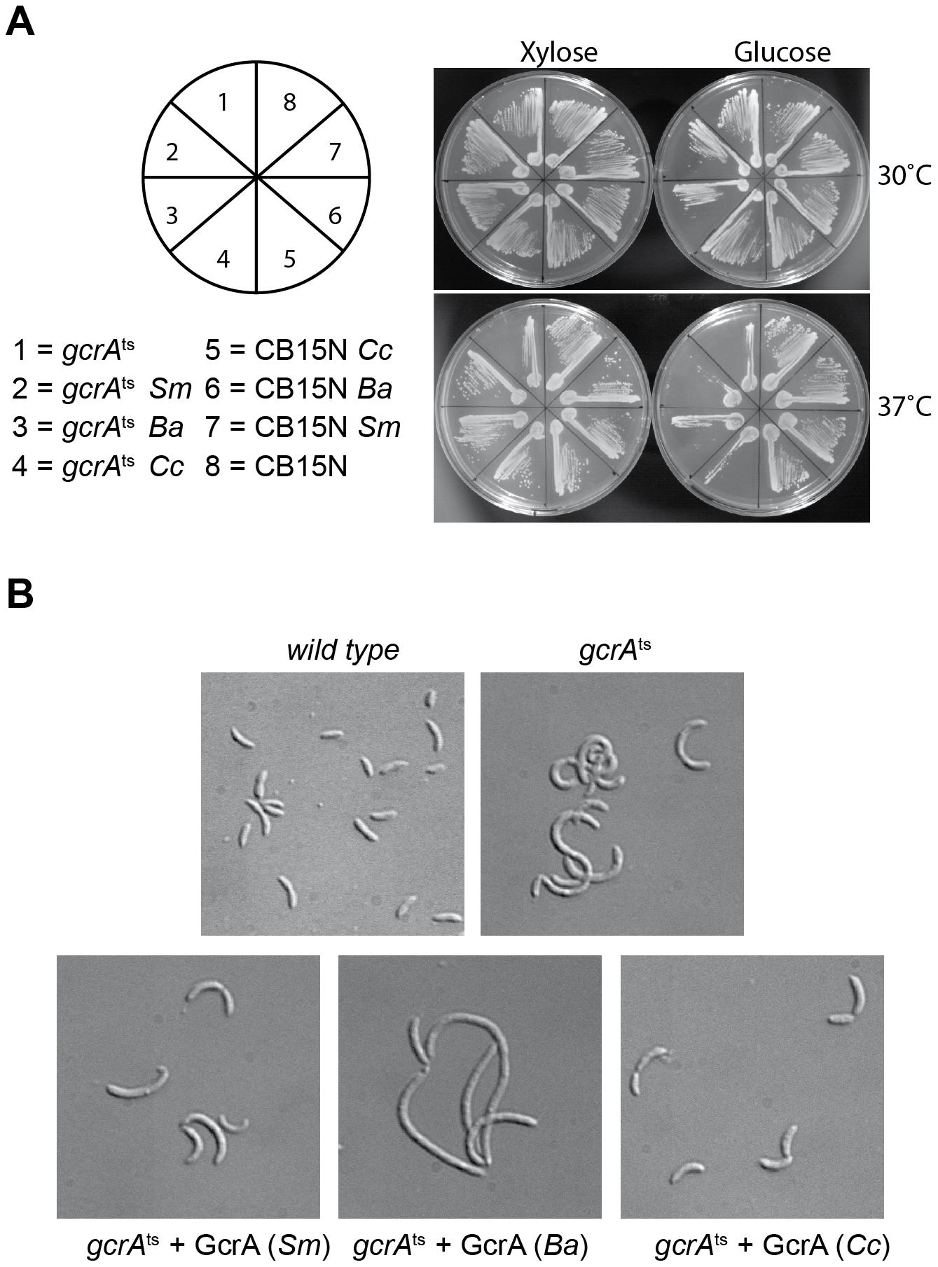 GcrA orthologs in <i>Alphaproteobacteria</i>.
