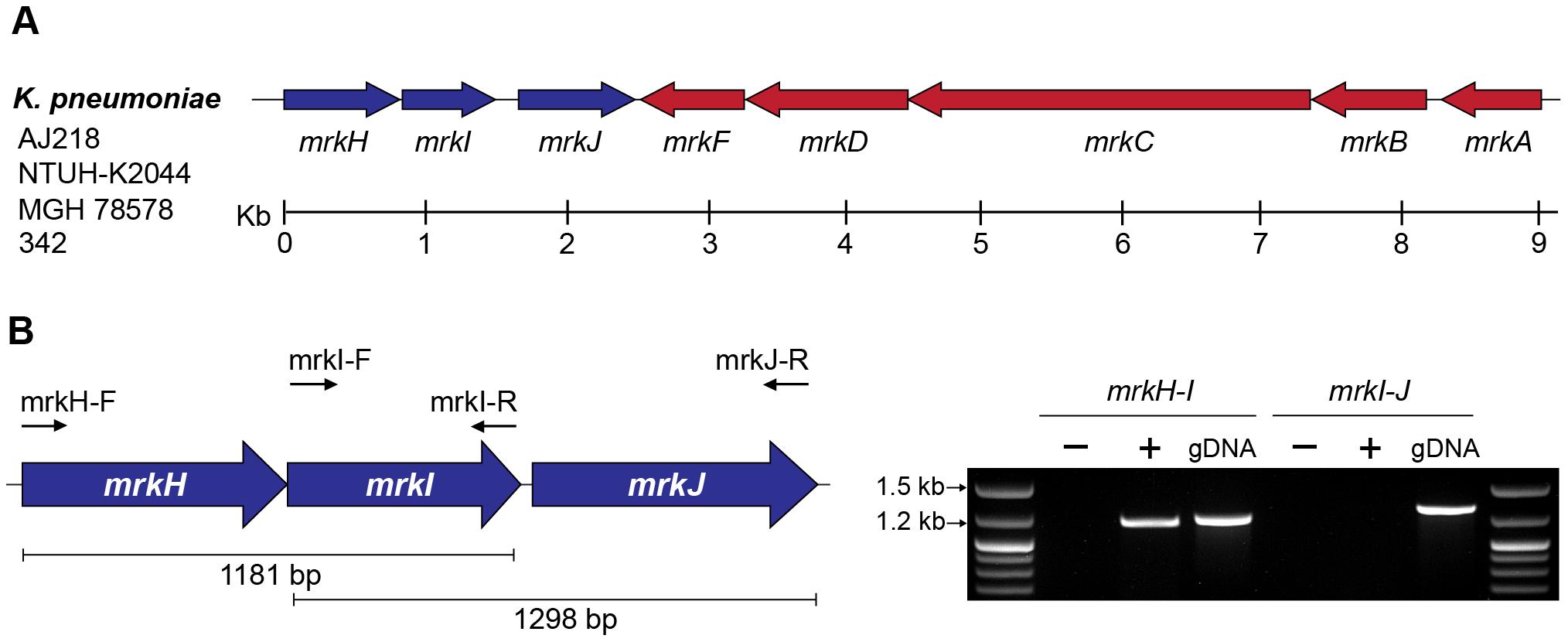 The <i>mrkABCDF</i> and <i>mrkHIJ</i> loci in <i>K. pneumoniae</i> AJ218.