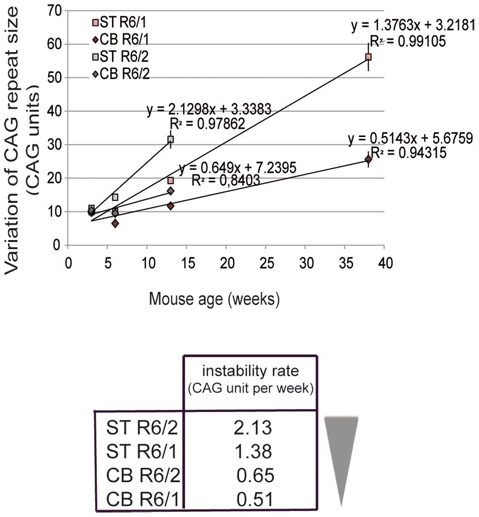 Somatic CAG instability rates in R6/1 and R6/2 striatum and cerebellum.