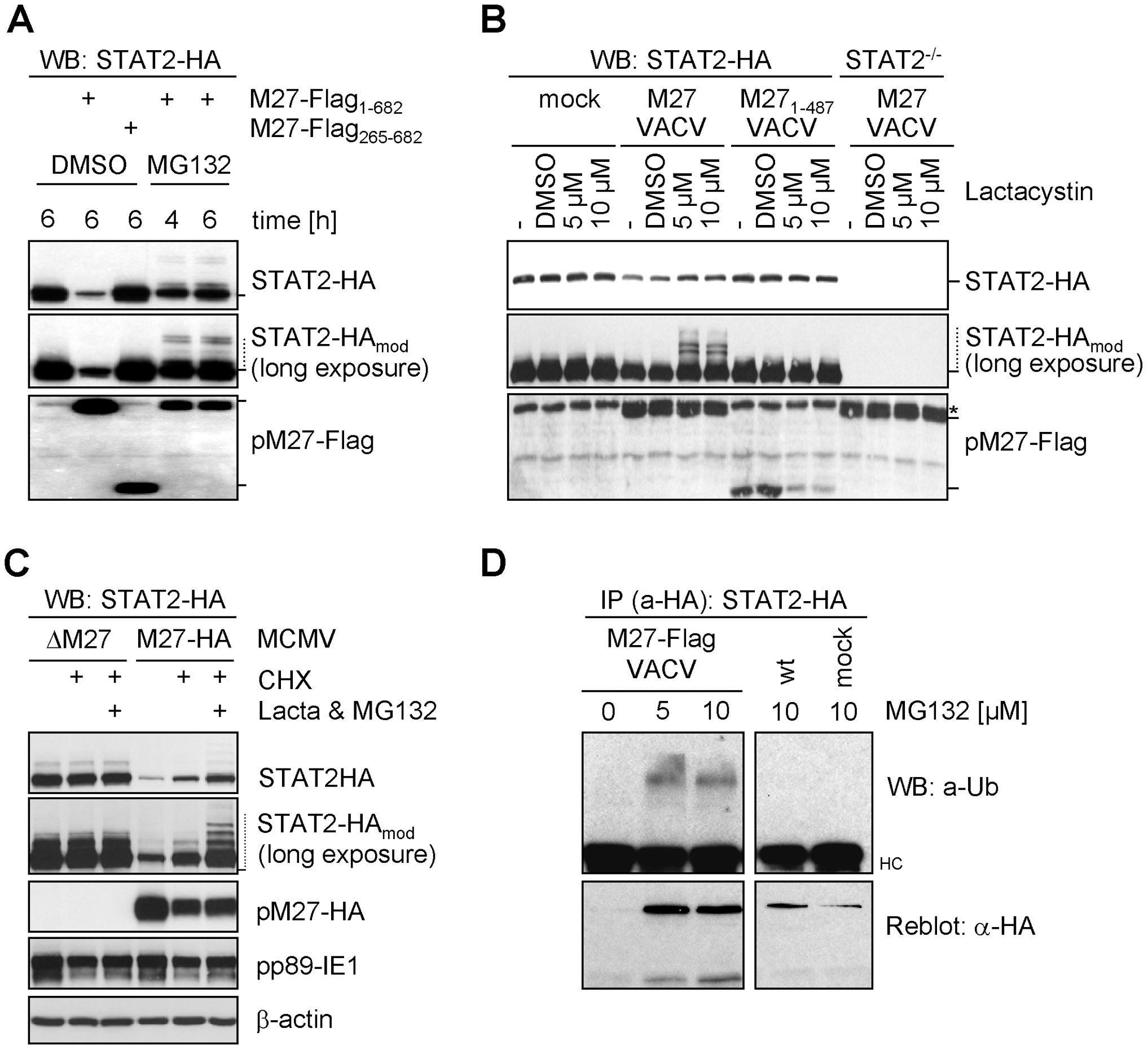 pM27 facilitates the proteasome to degrade STAT2.