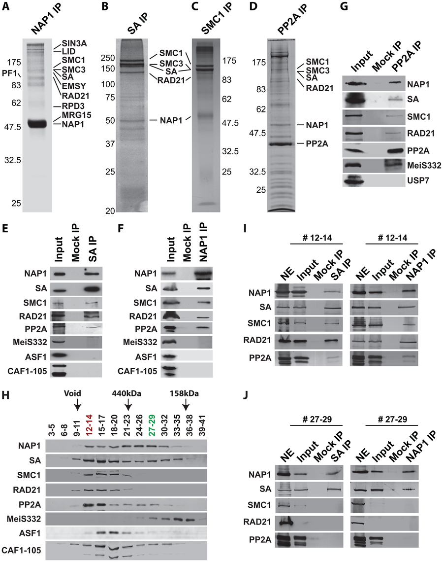 NAP1 interacts biochemically with the core cohesin complex and PP2A.
