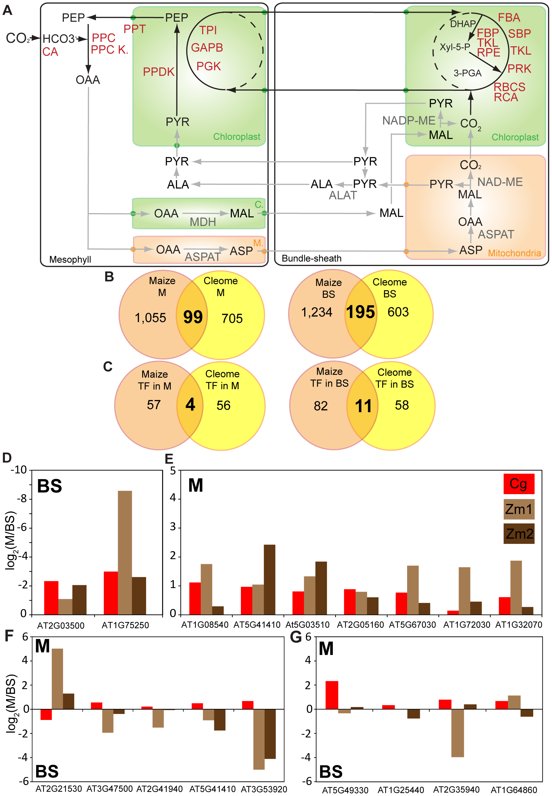Convergence of mesophyll and bundle sheath transcriptomes in <i>C. gynandra</i> and maize.