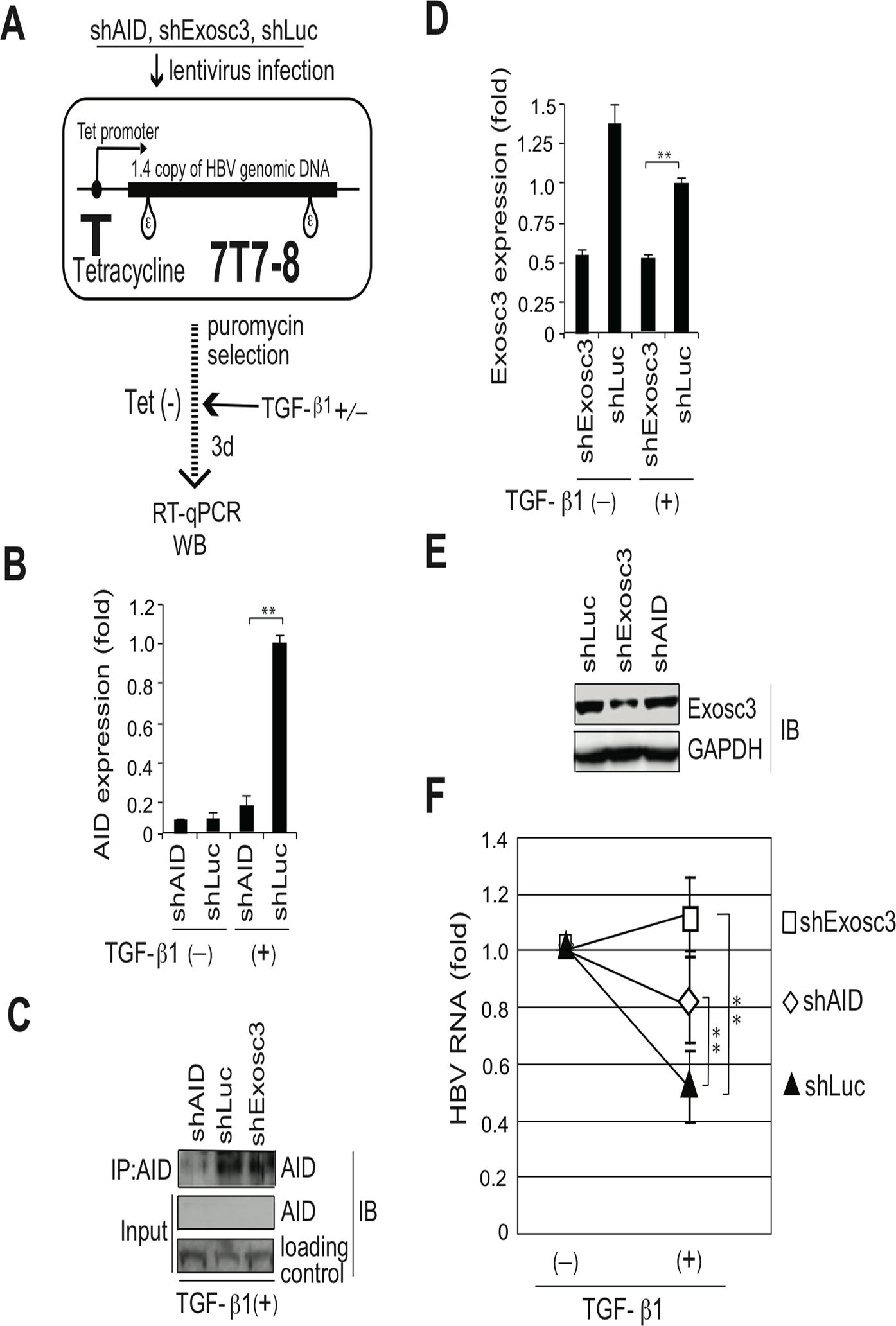 TGF-β1-mediated reduction of HBV transcripts depends on AID and Exosc3.