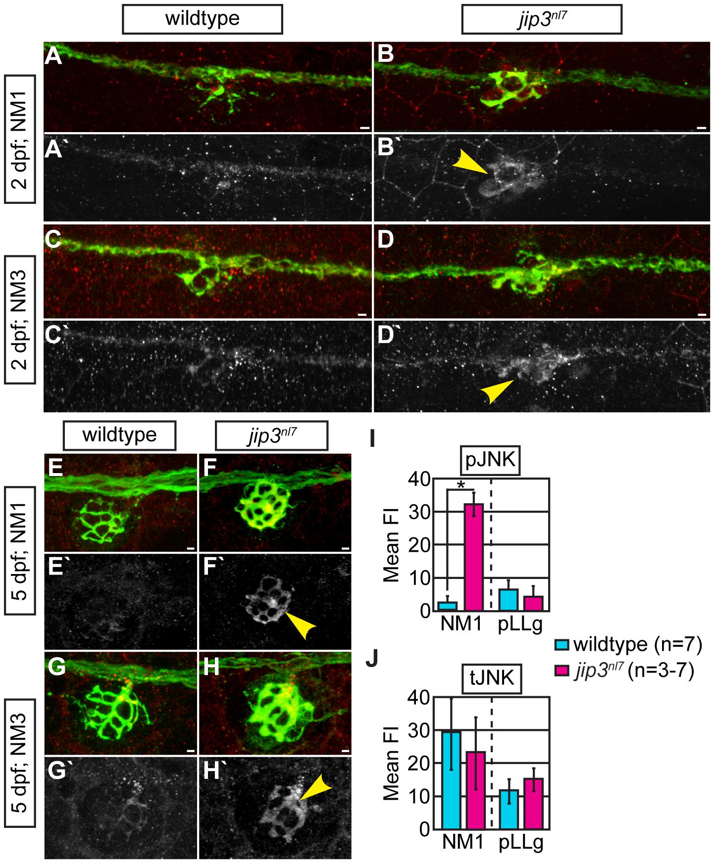 pJNK levels were elevated in <i>jip3<sup>nl7</sup></i> axon terminals.