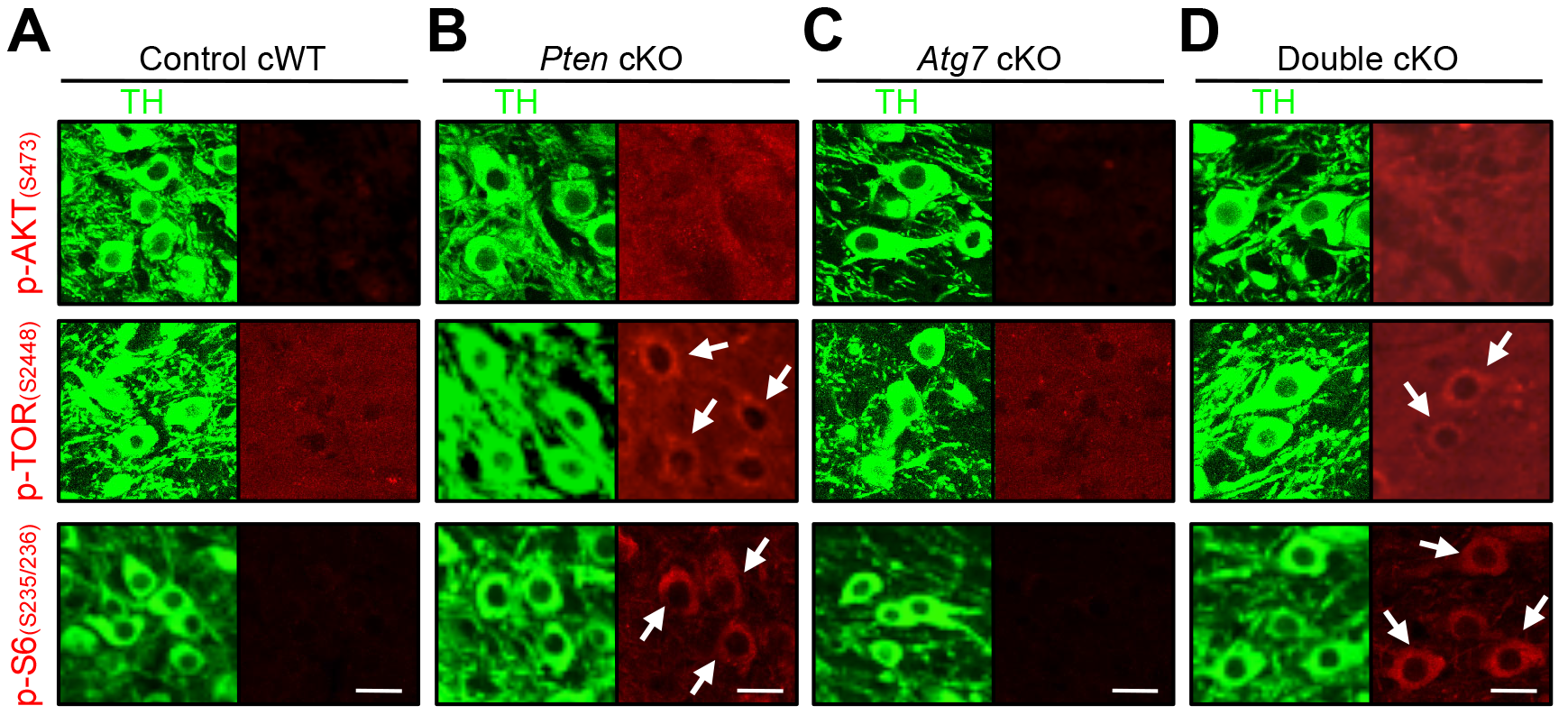 Characterization of PI3K/mTOR pathways in TH-positive DA neurons of <i>Atg7</i> and/or <i>Pten</i> cKO mice.