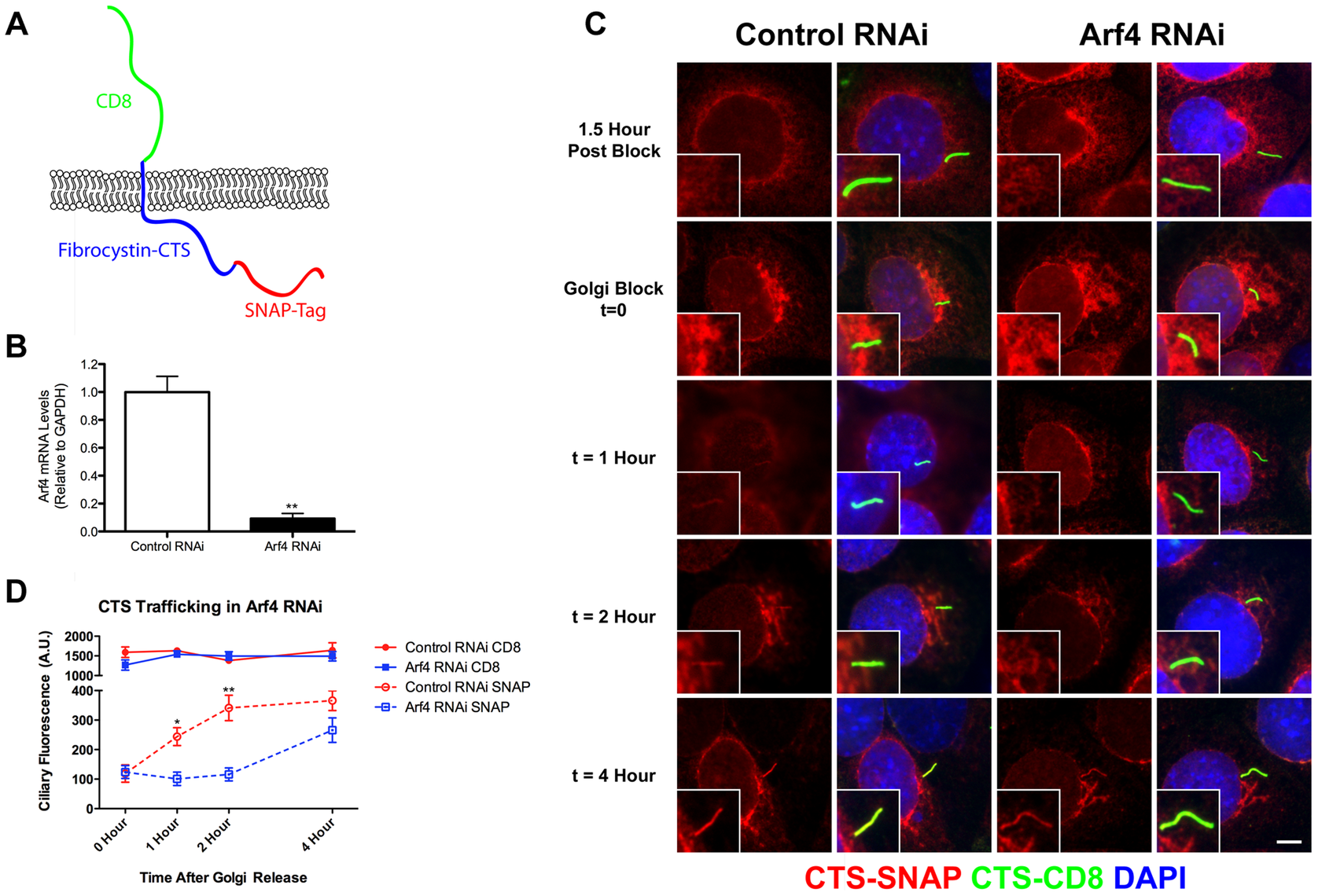 Arf4 knockdown delays CTS trafficking to the primary cilium.