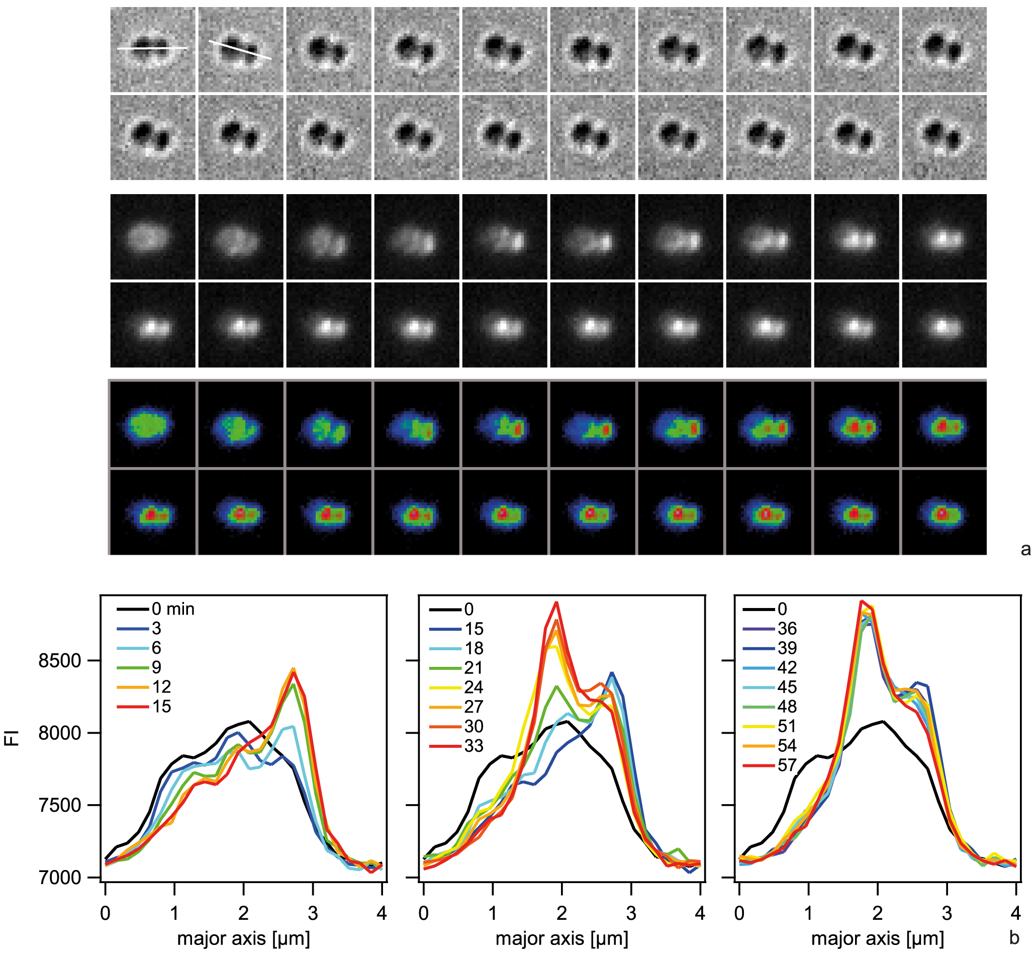Spatio-temporal dynamics of ComE-mCherry upon addition of 10 kbp transforming DNA.