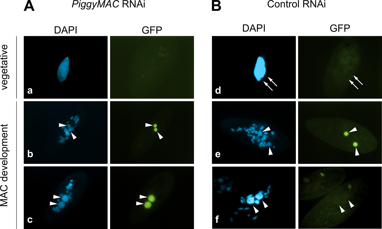 Localization of the GFP-TFIIS4 fusion protein upon <i>PiggyMac</i> RNAi.