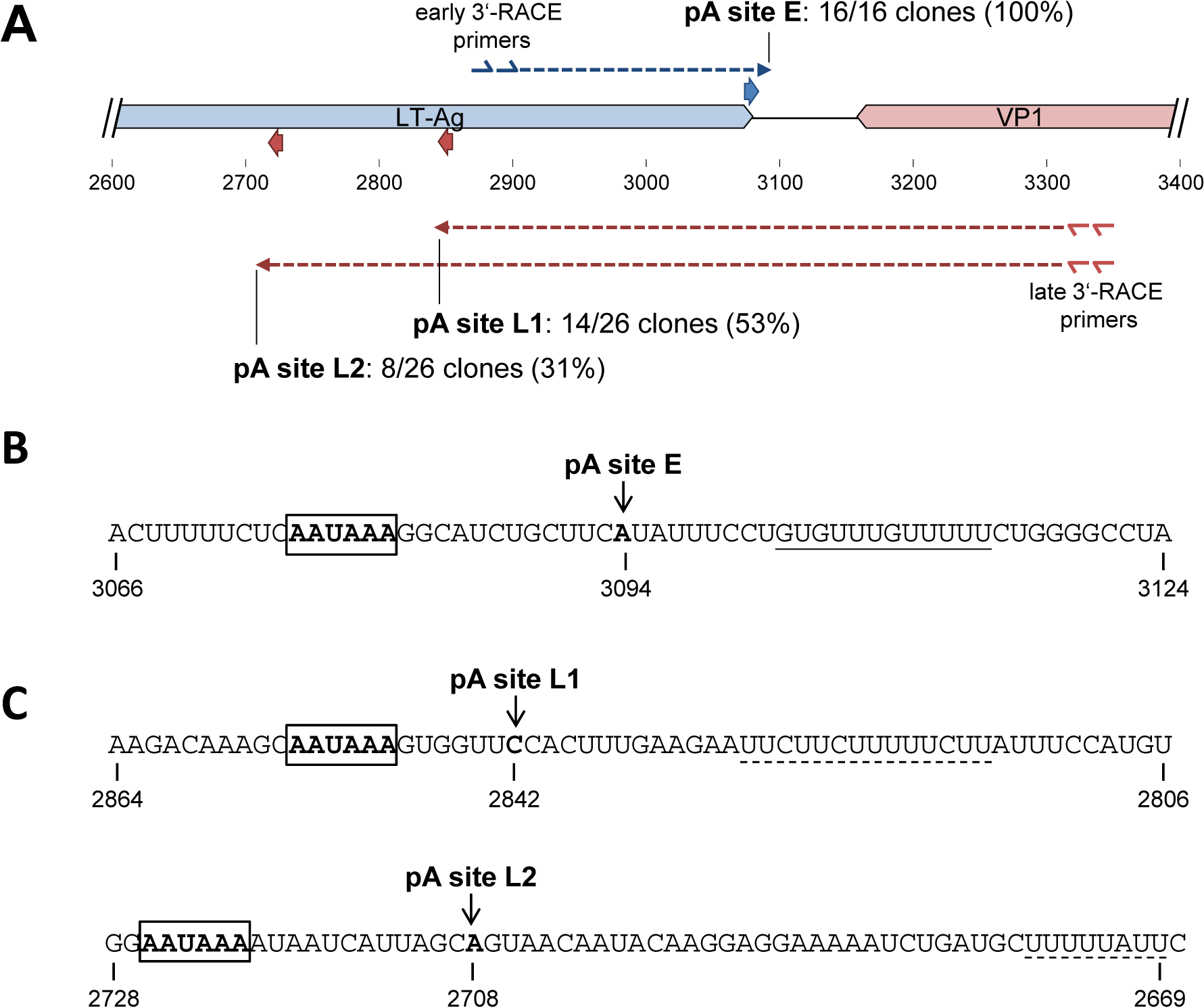 Mapping of early and late strand polyadenylation sites.
