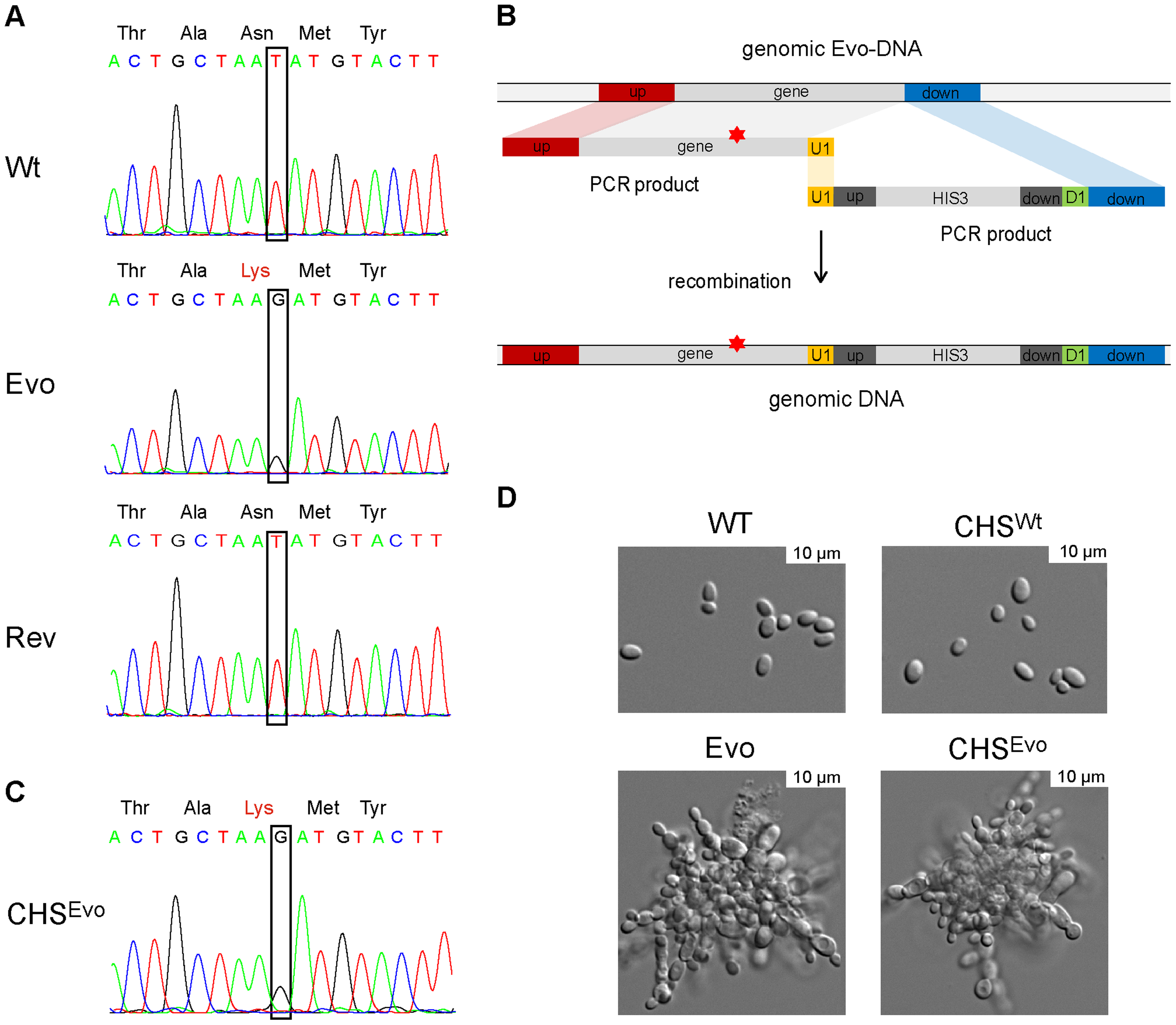 A single nucleotide exchange is sufficient to produce the evolved phenotype.