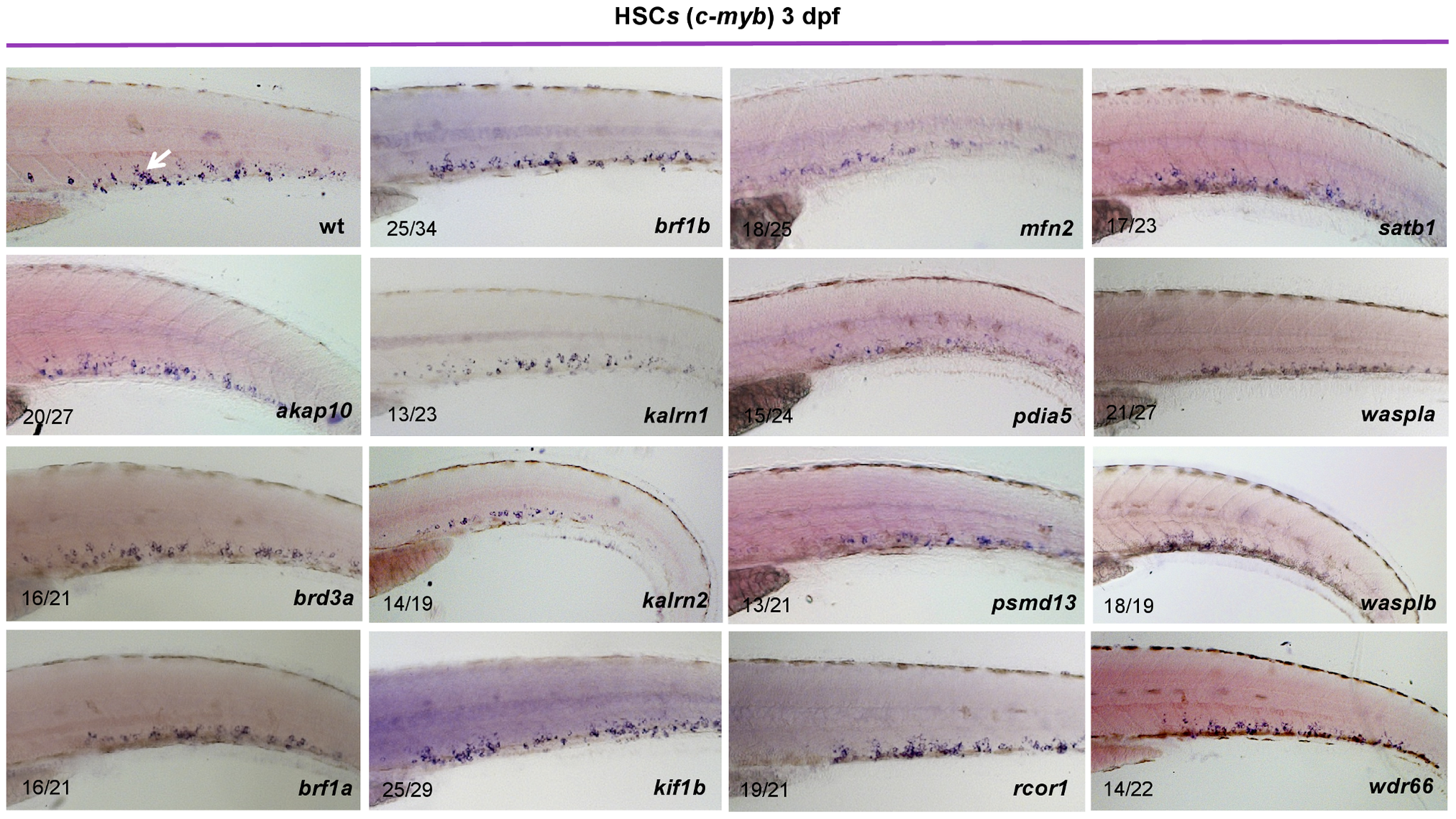 Characterization of HSCs in candidate gene depleted embryos.