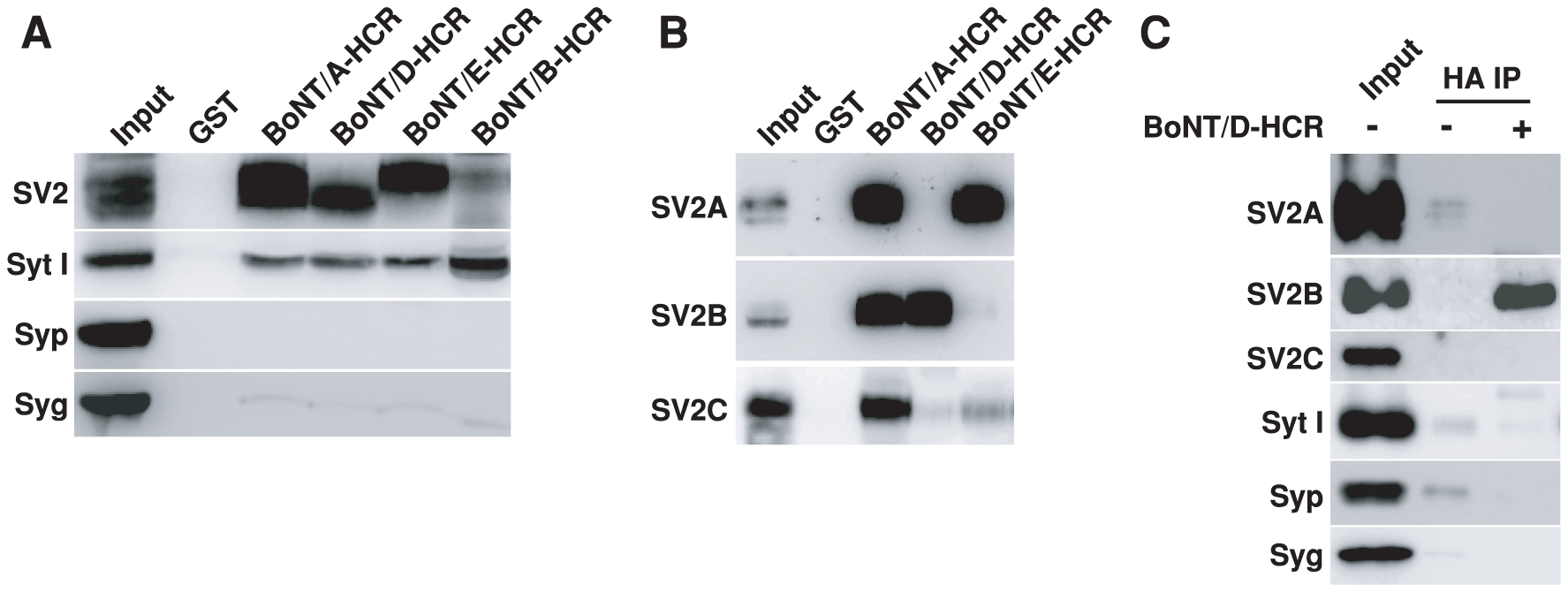 BoNT/D-HCR can pull-down and co-immunoprecipitate SV2 from rat brain detergent extracts.