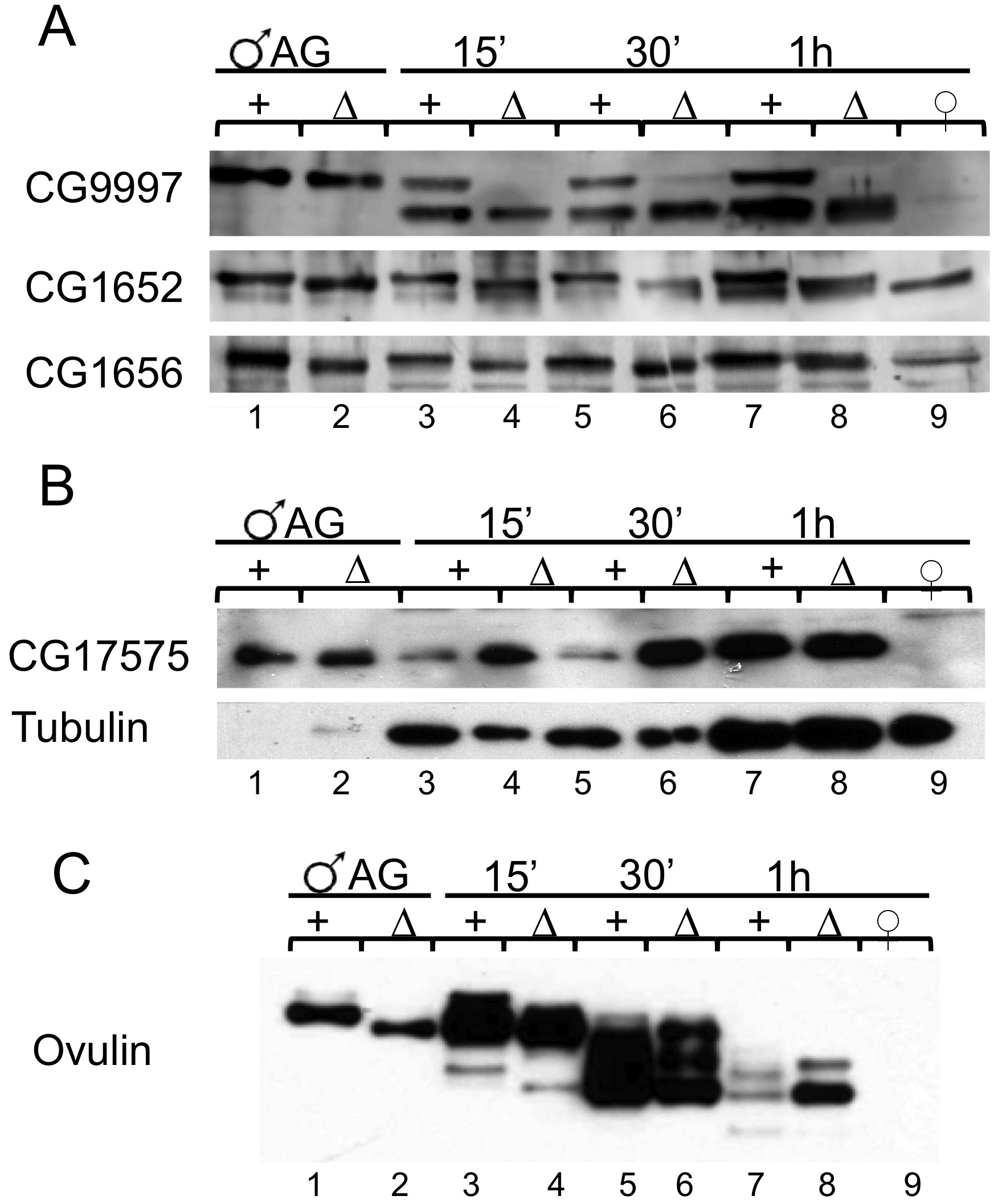 Post translational modification, stability, and abundance of seminal fluid proteins in mates of <i>iab-6<sup>cocu</sup></i> or control males.