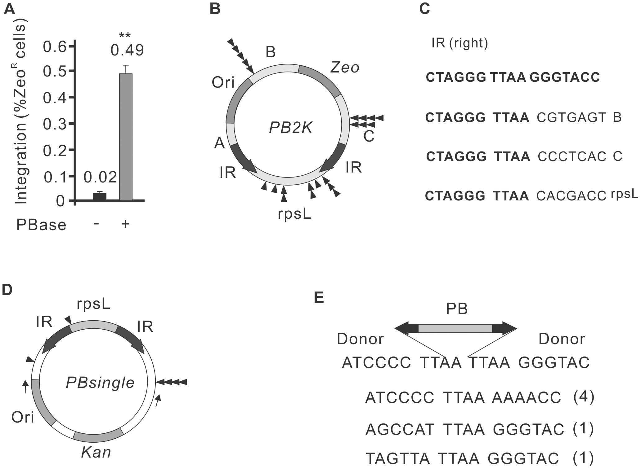 Autointegration properties of <i>PiggyBac</i> transposition.