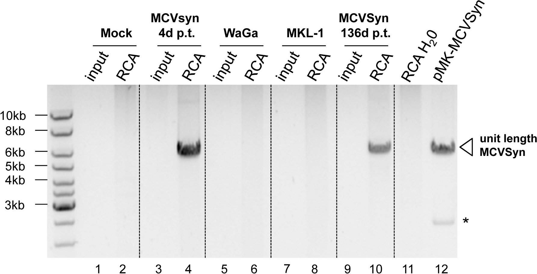 RCA analysis suggests episomal persistence of MCVSyn genomes.