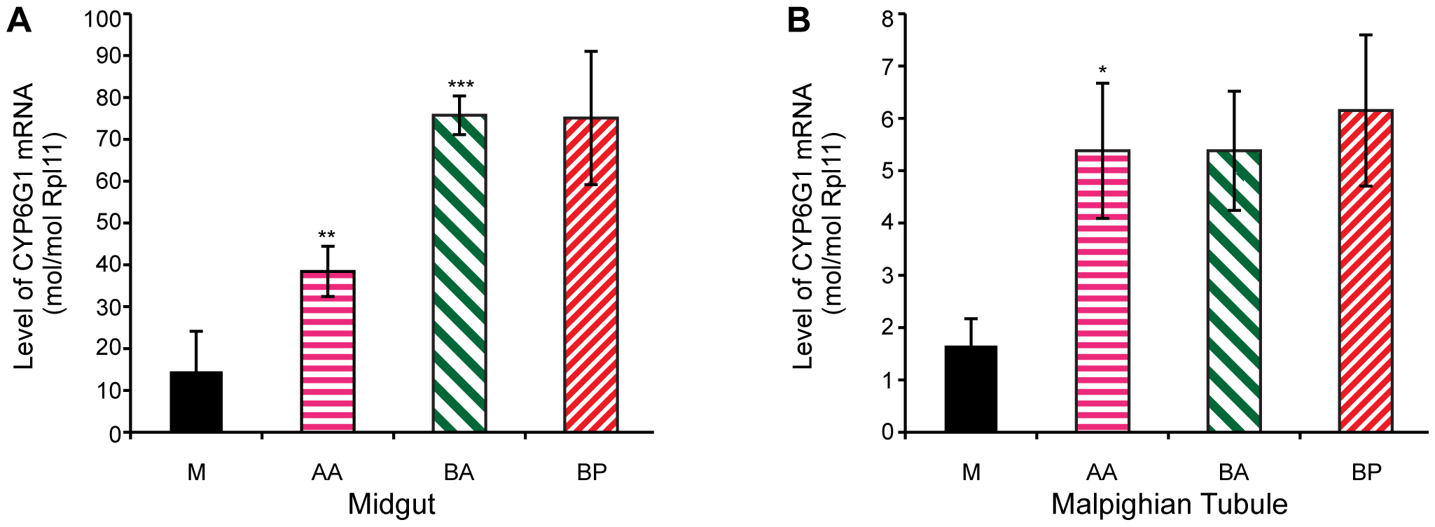 <i>Cyp6g1</i> transcription in adult midgut and malphigian tubule.