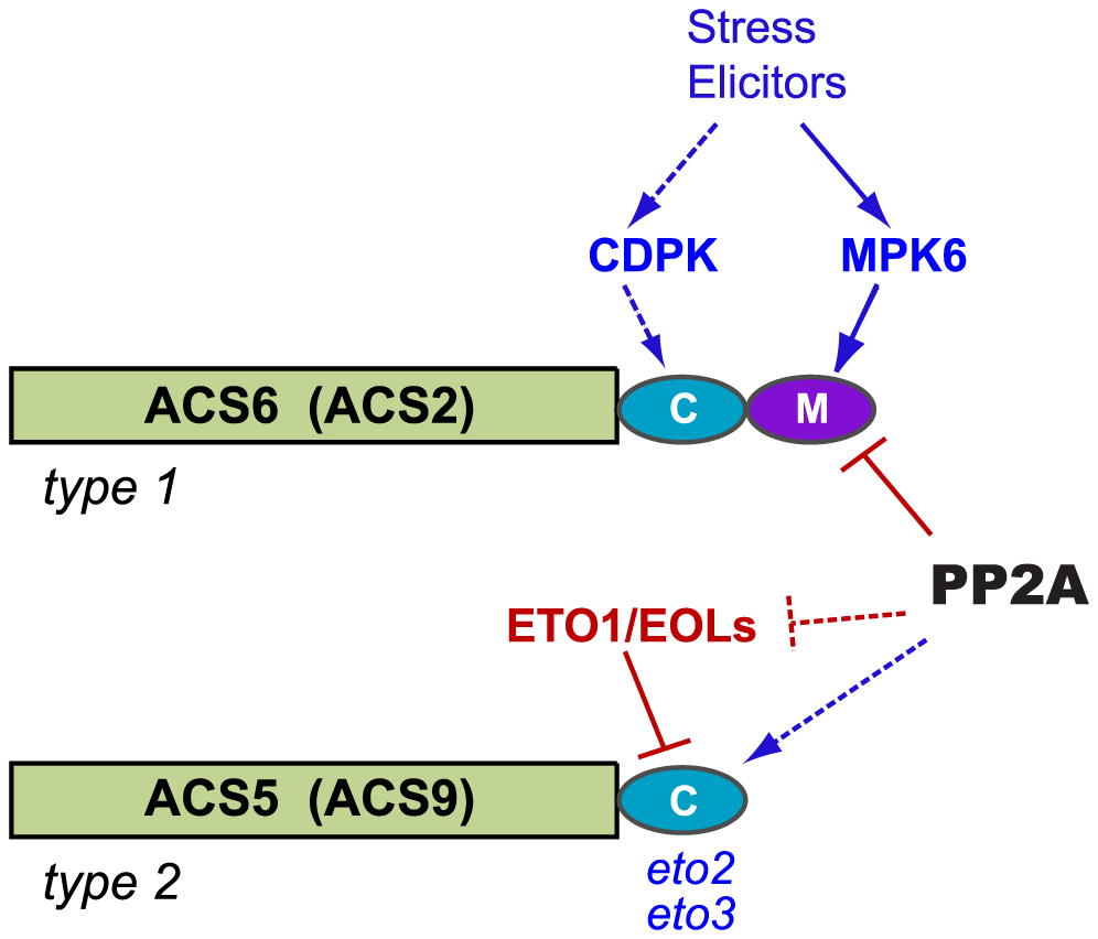 Model for PP2A-mediated regulation of ACS isozyme stability.