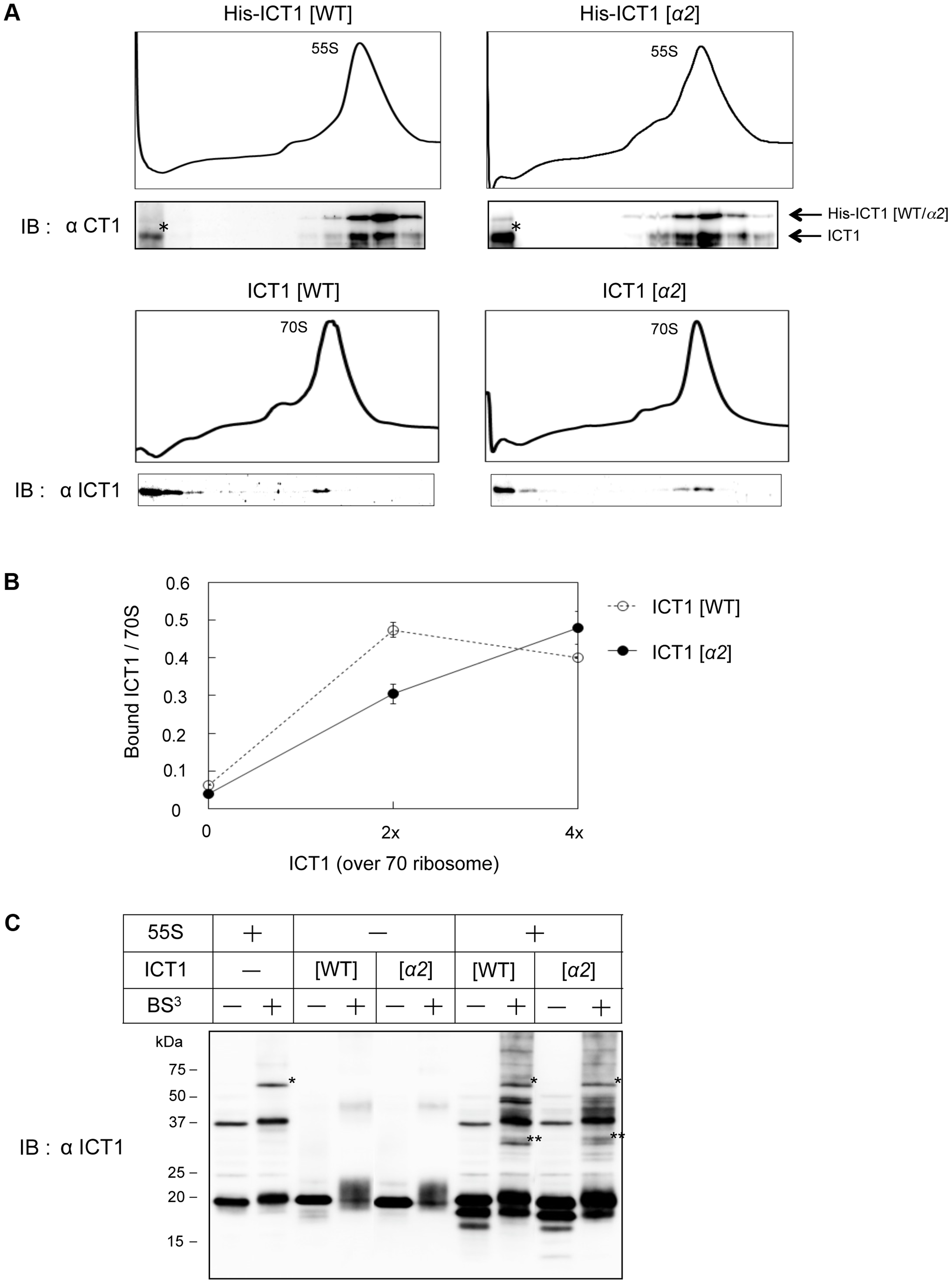 The insertion sequence in the N-terminal globular domain of ICT1 does not affect ribosome binding.