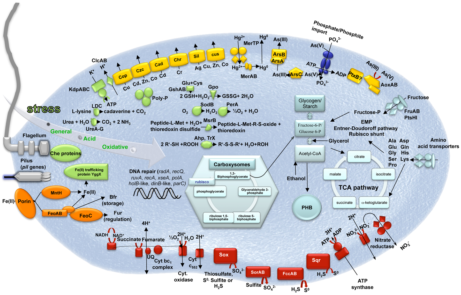 Schematic representation of the major metabolic pathways in <i>Thiomonas</i> sp. 3As.