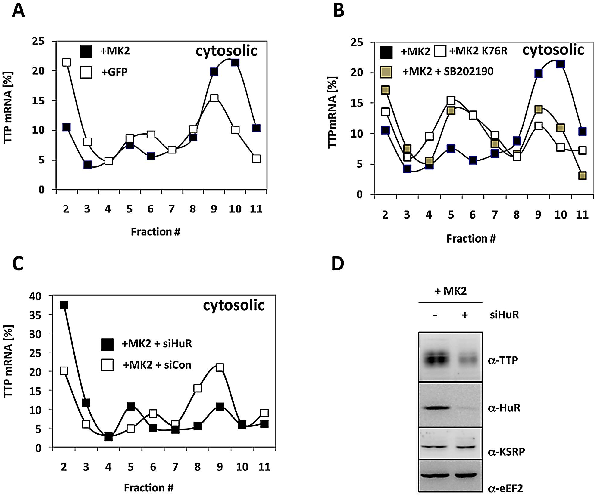 MK2- and HuR–dependent translational regulation of TTP mRNA.
