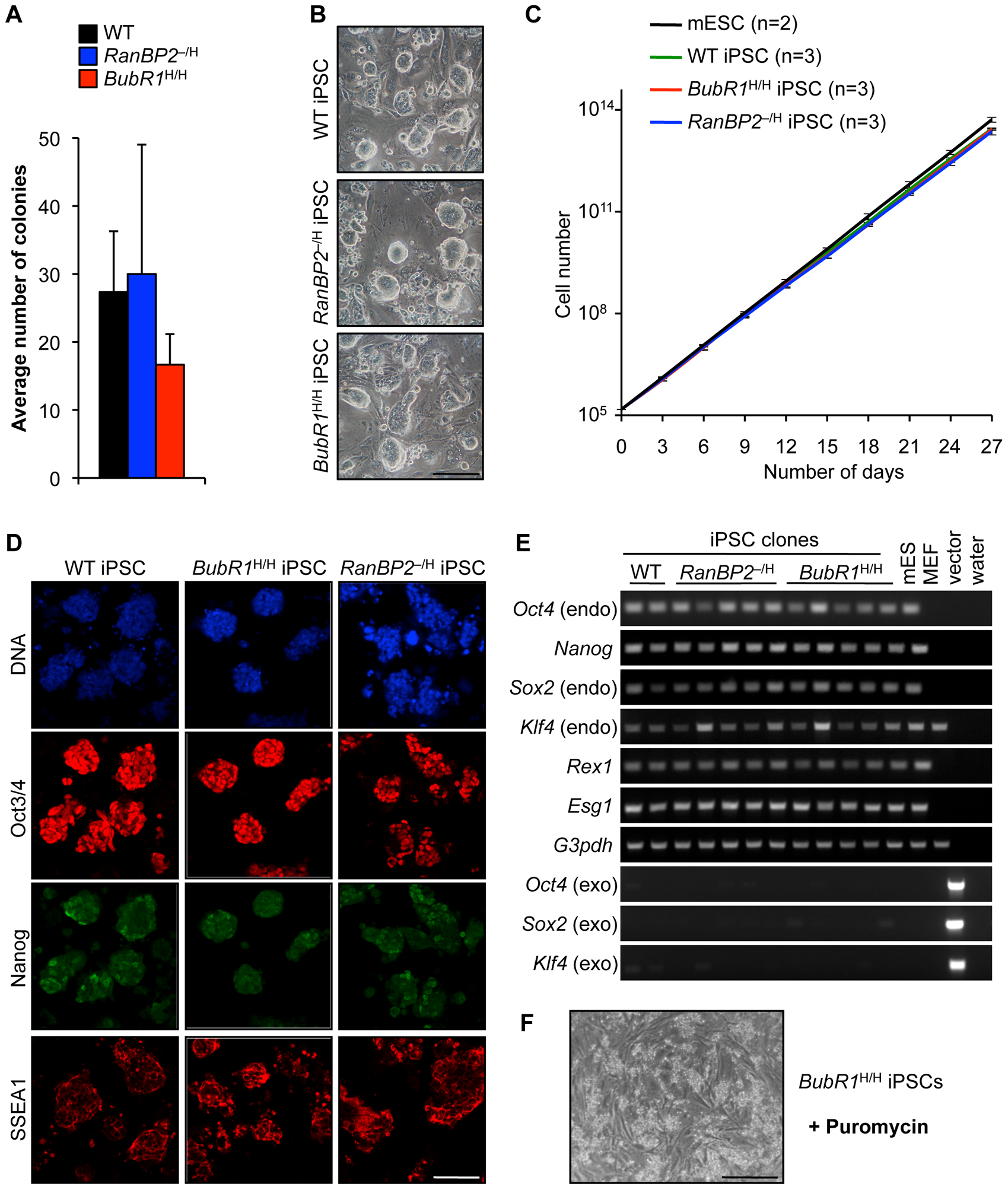 MEFs with W-CIN gene mutations can be efficiently reprogrammed into iPSCs.