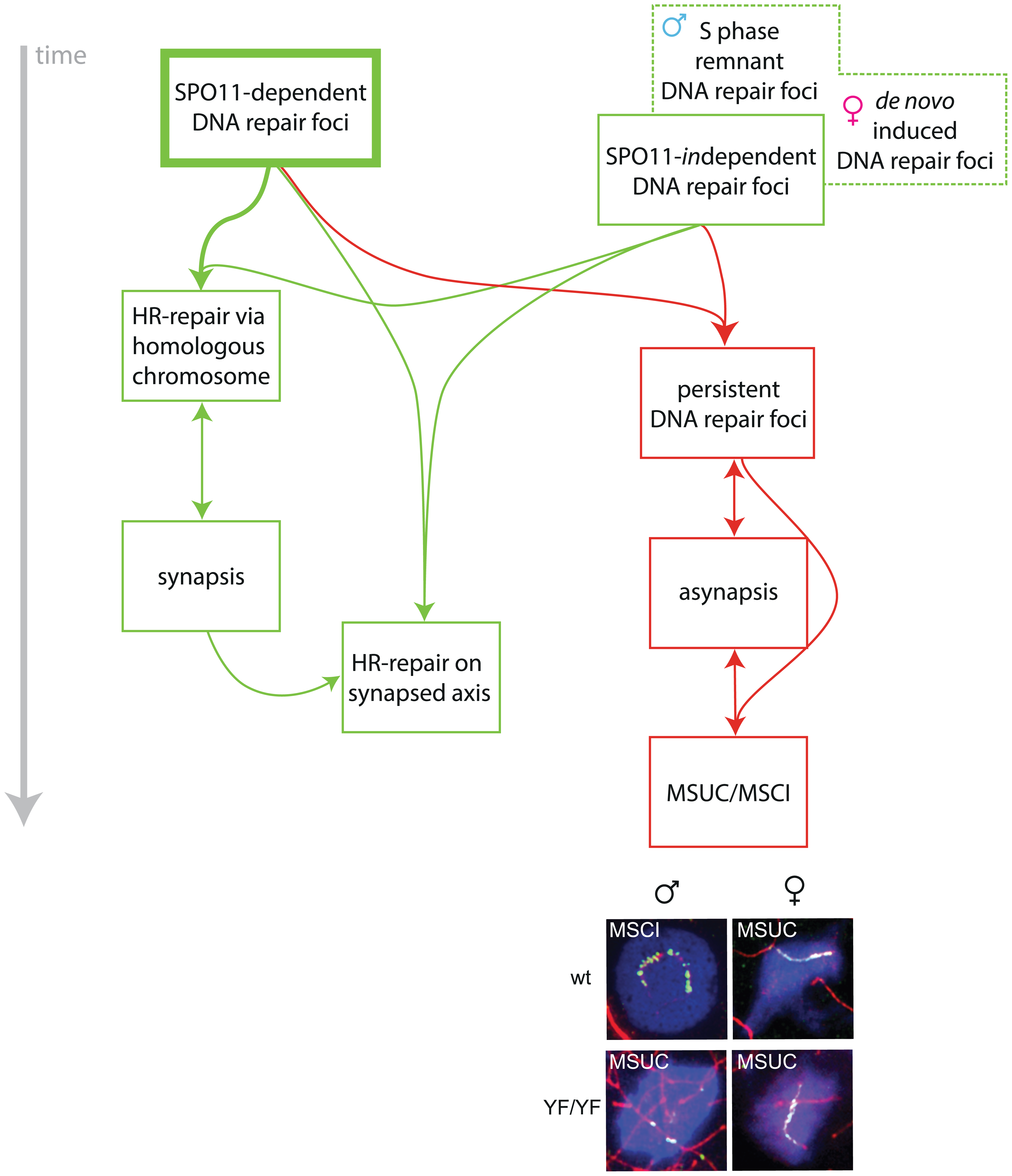 Model for the roles of SPO11-dependent and -independent meiotic DSBs in synapsis and meiotic silencing.