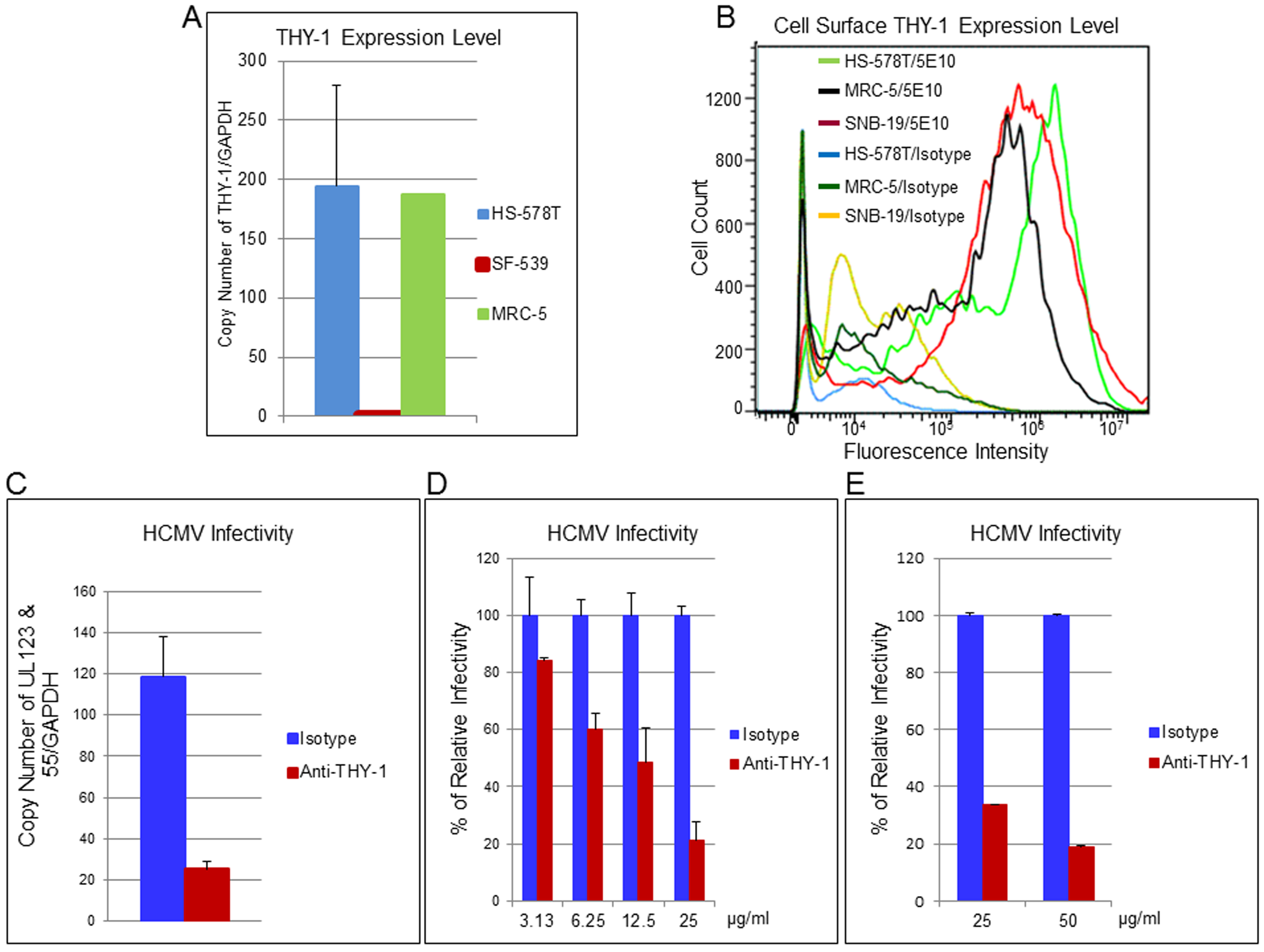 THY-1 antibody binds to cell surface THY-1 protein and blocks HCMV entry in a dose-dependent manner.