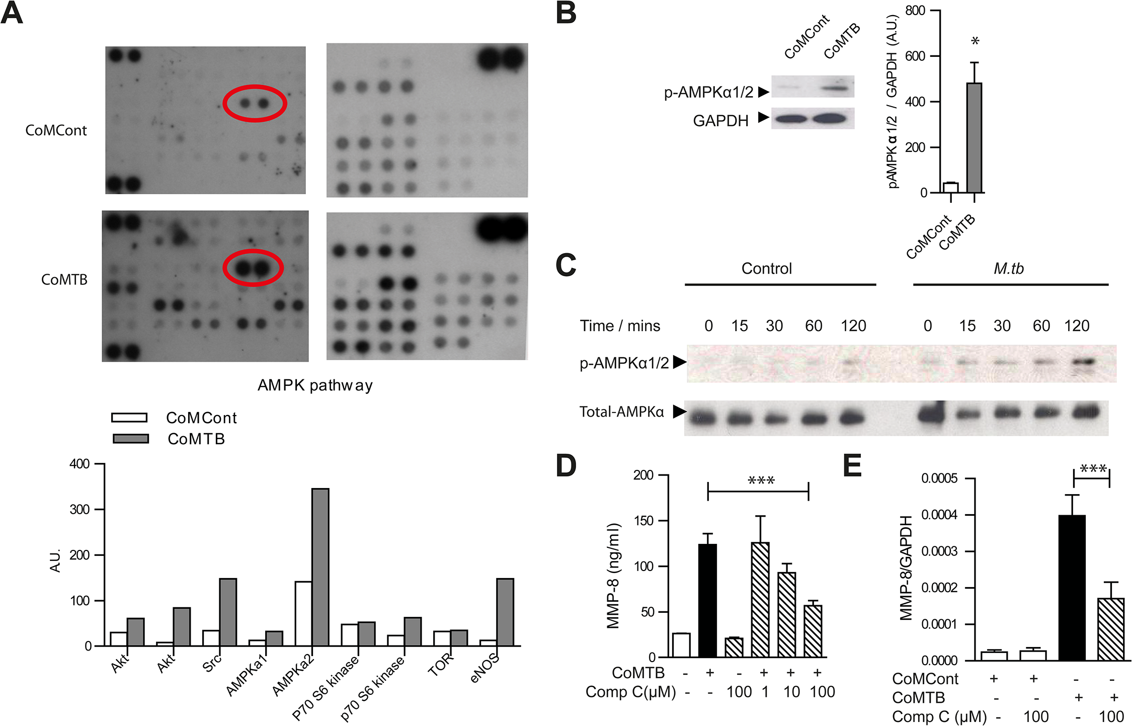 AMPK regulates neutrophil MMP-8 secretion in TB <i>in vitro</i>.