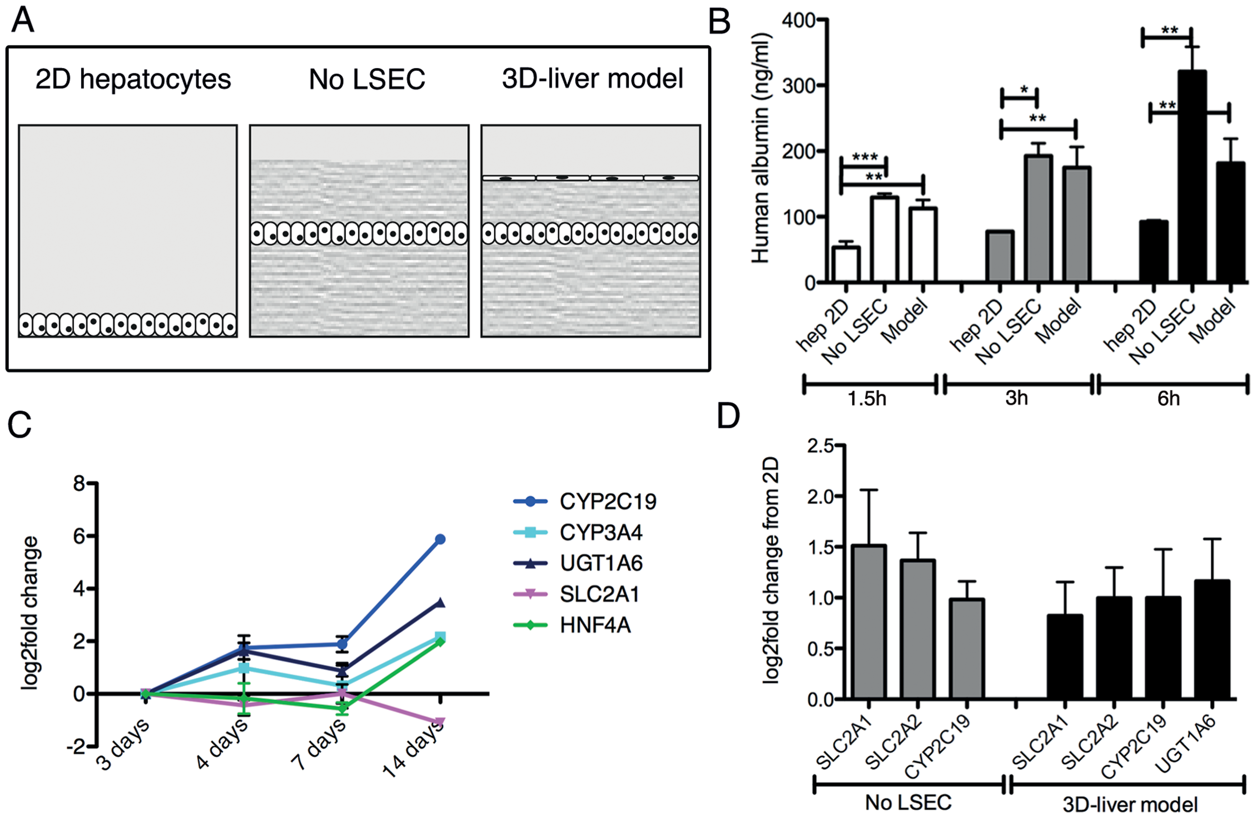 Expression of hepatocyte functions in the human 3D-liver model.
