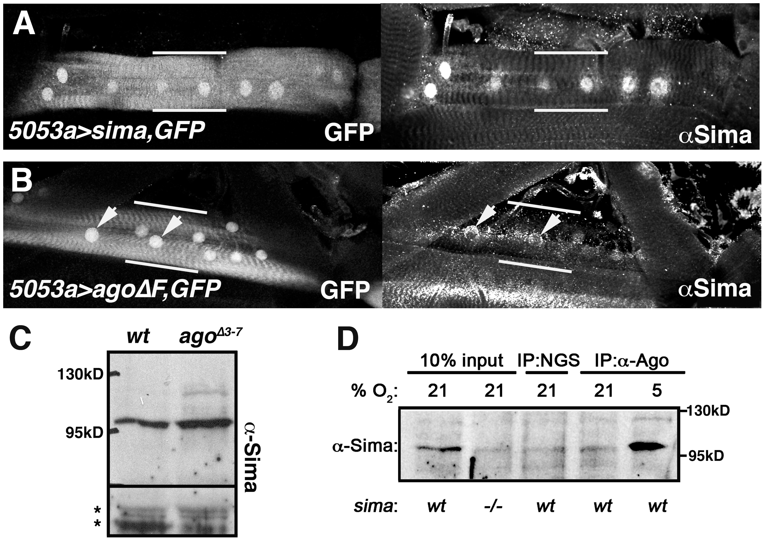Ago associates with Sima and limits its abundance in peripheral tissues.