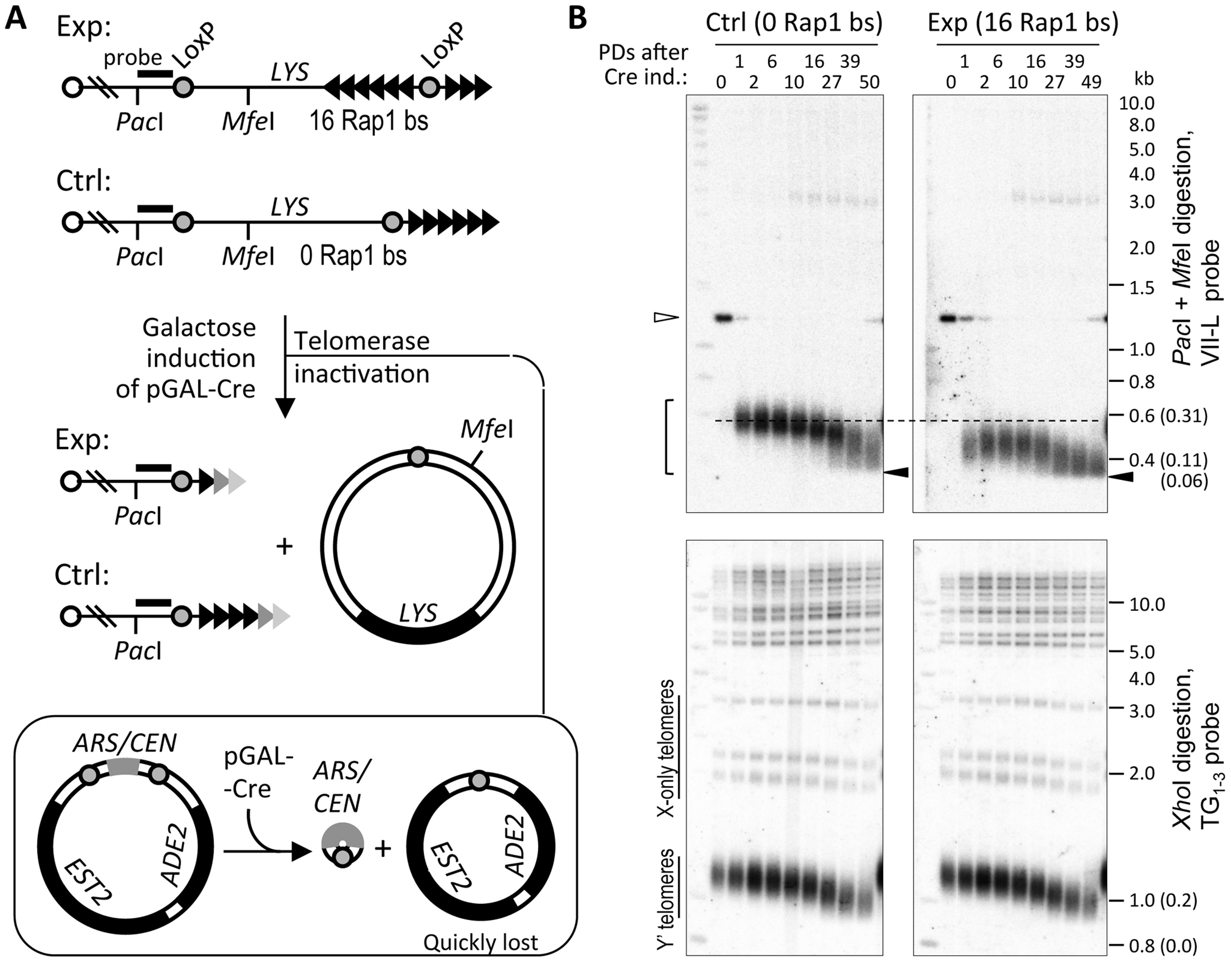 Telomere shortening reaches the limit at ∼60 bp of TG<sub>1–3</sub> repeats.